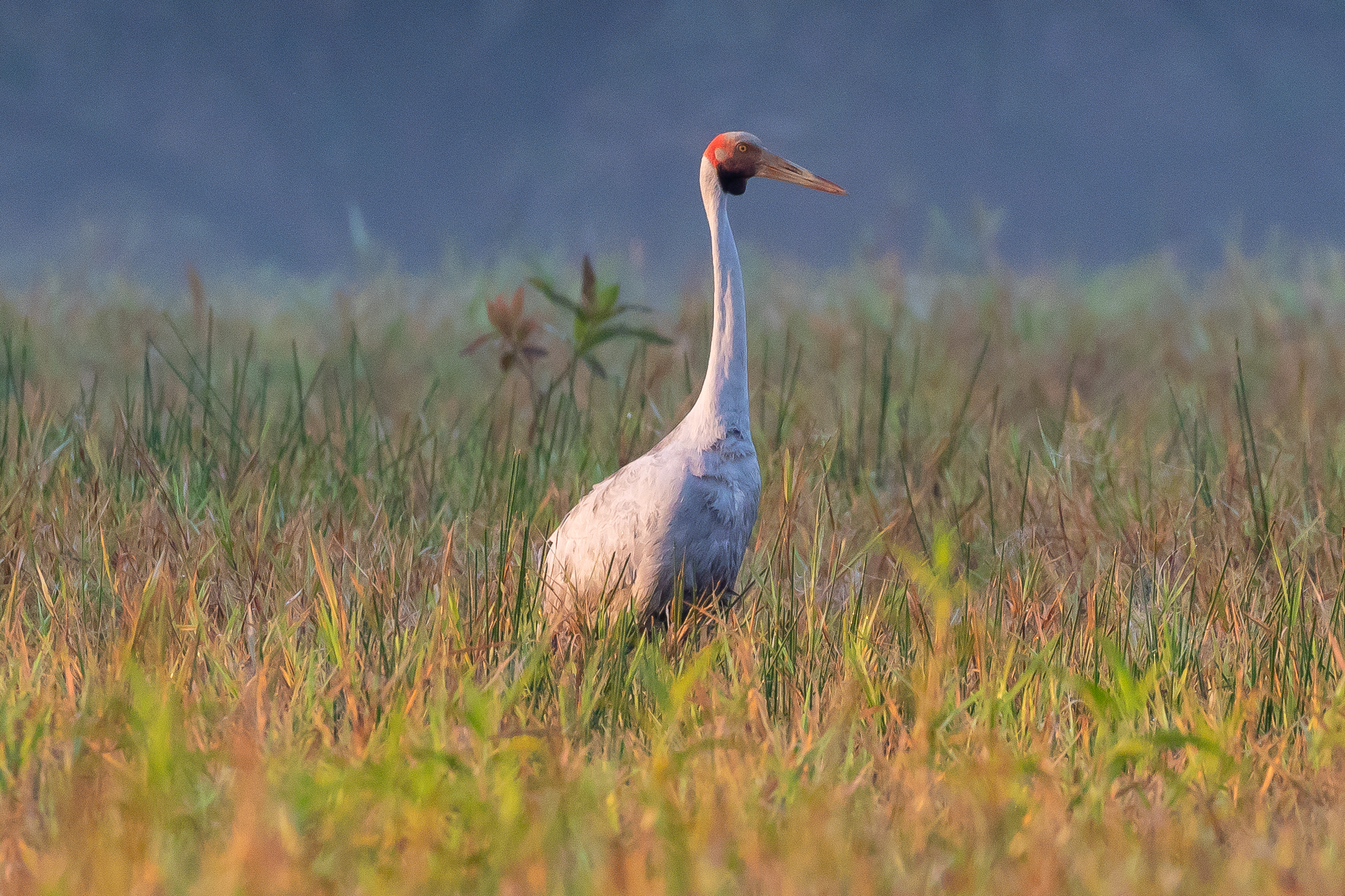 A Brolga (1.3 m) grazes in the marshes. Brolgas are found across the north of Australia but migrate as far south as Victoria in summer.