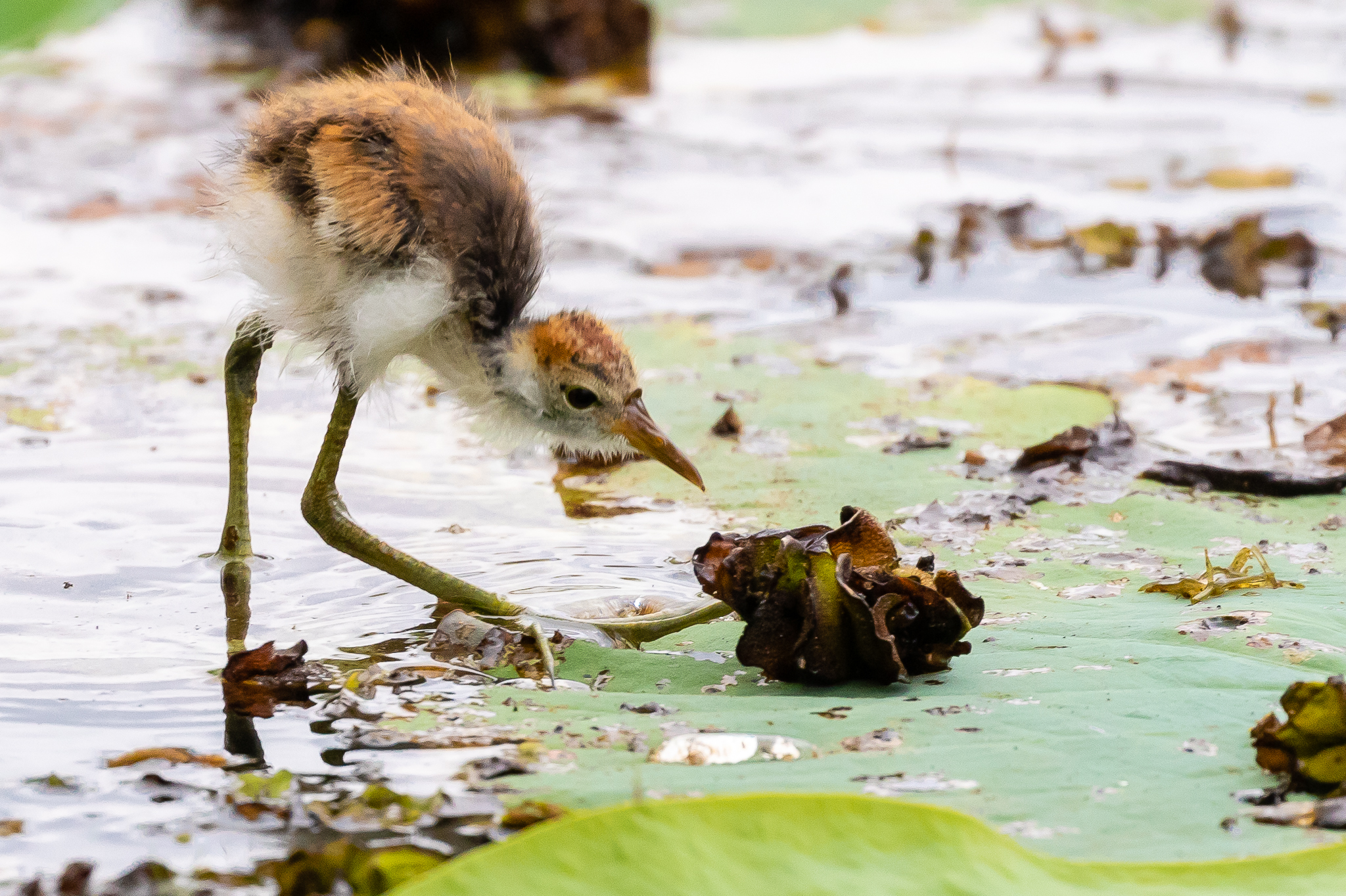 Young Comb-crested Jacanas look awkward but this one is managing very well on the lily-pads of Yellow Water Lagoon.