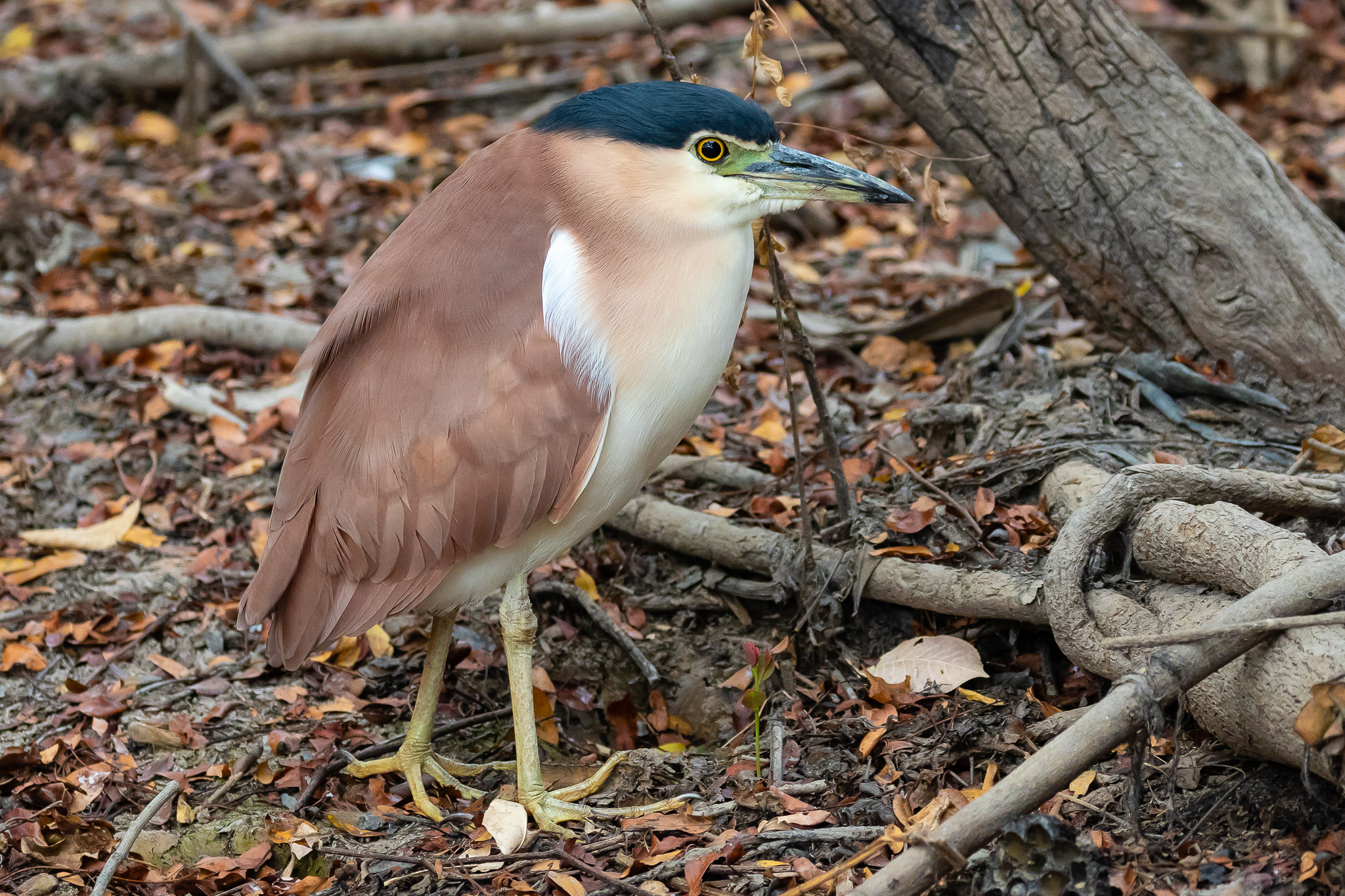 A Nankeen Night-Heron on the bank of Yellow Water lagoon. Nankeen Night-Herons can be seen in most parts of Australia.