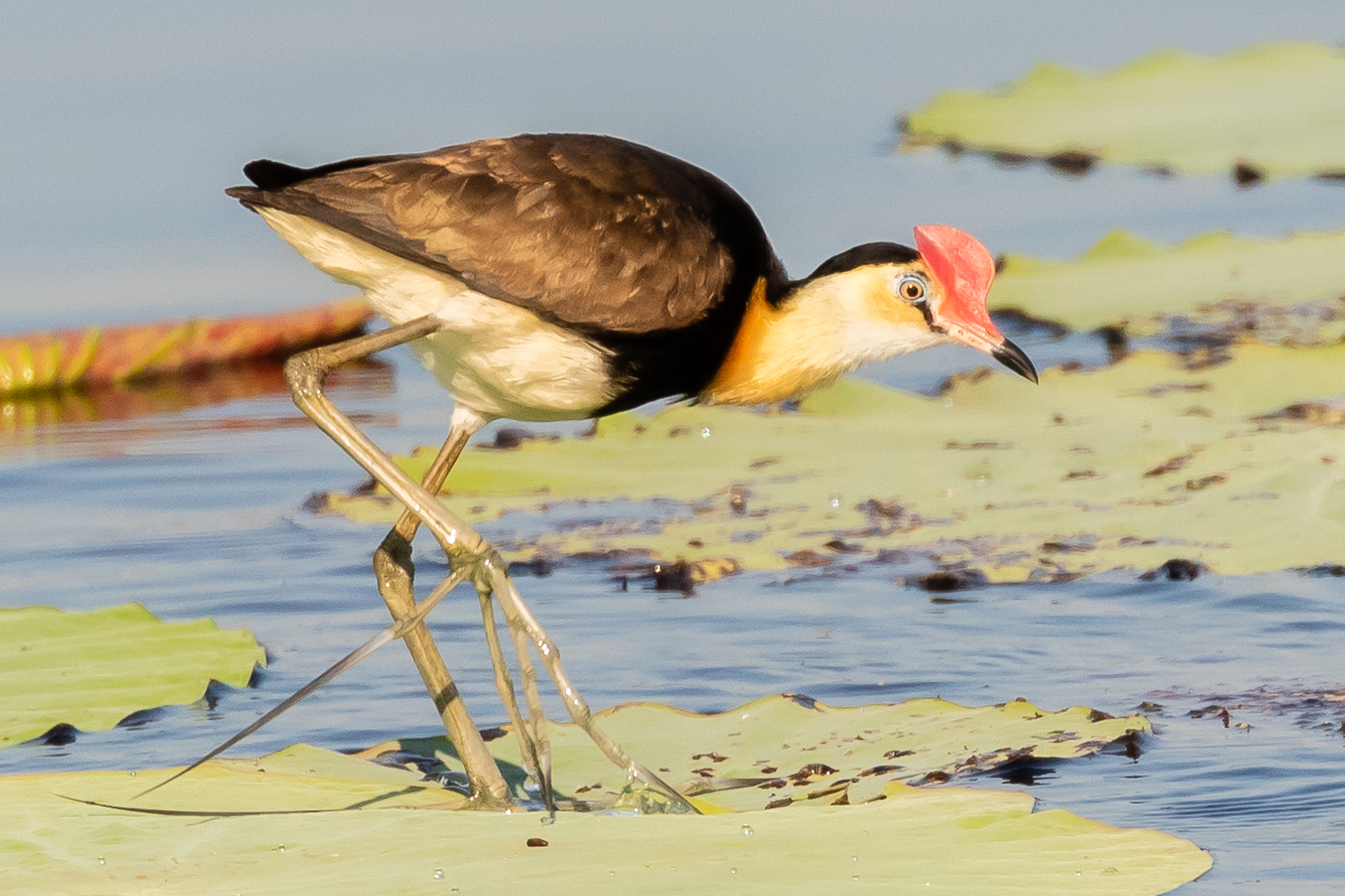 This Comb-crested Jacana was photographed at Fogg Dam, walking across lily-pads feeding on insects and vegetable matter.