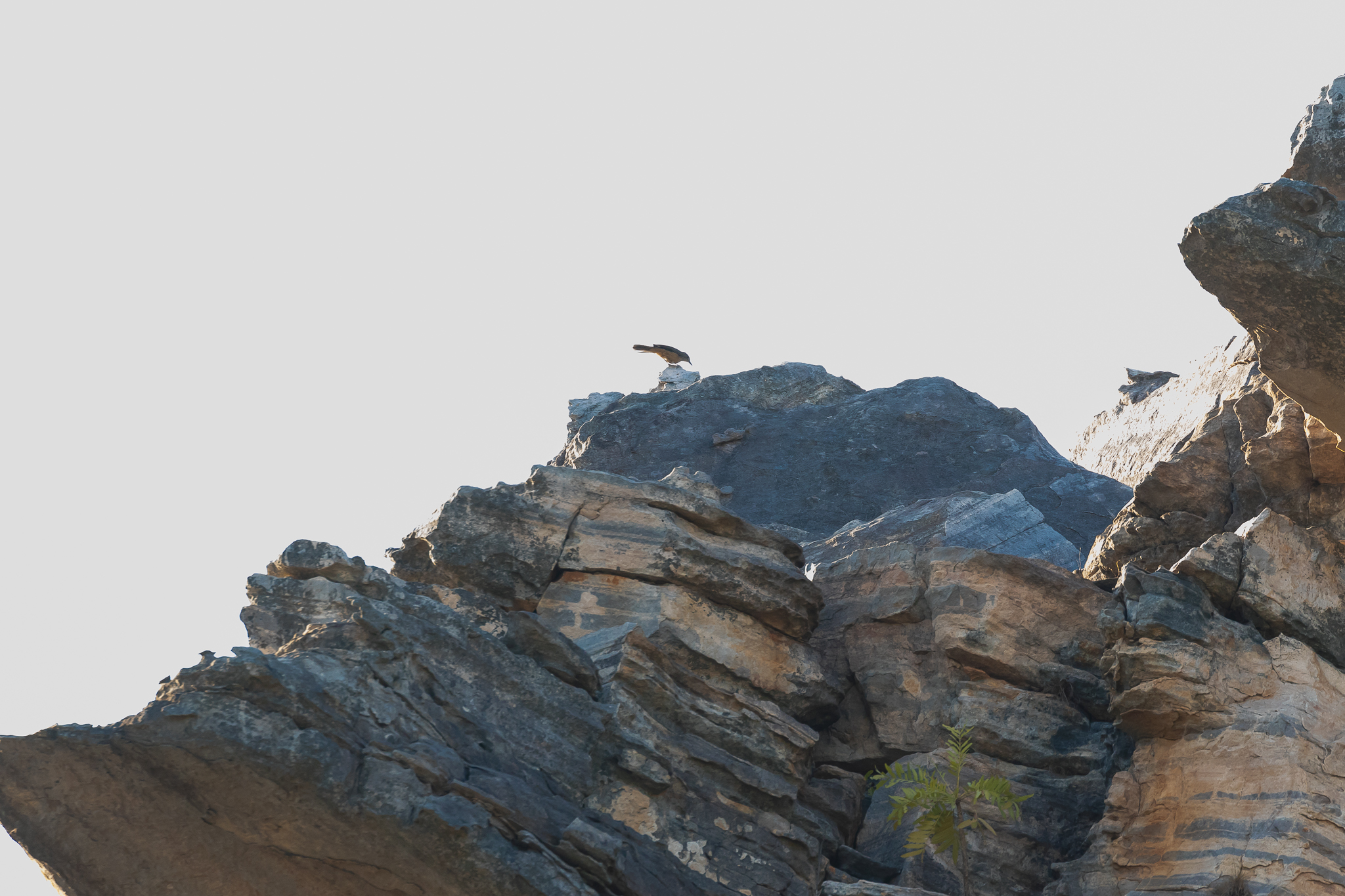The Sandstone Shrike-thrush is seen high on Kakadu's rocky escarpments, probing the rocks for lizards, grasshoppers and spiders.