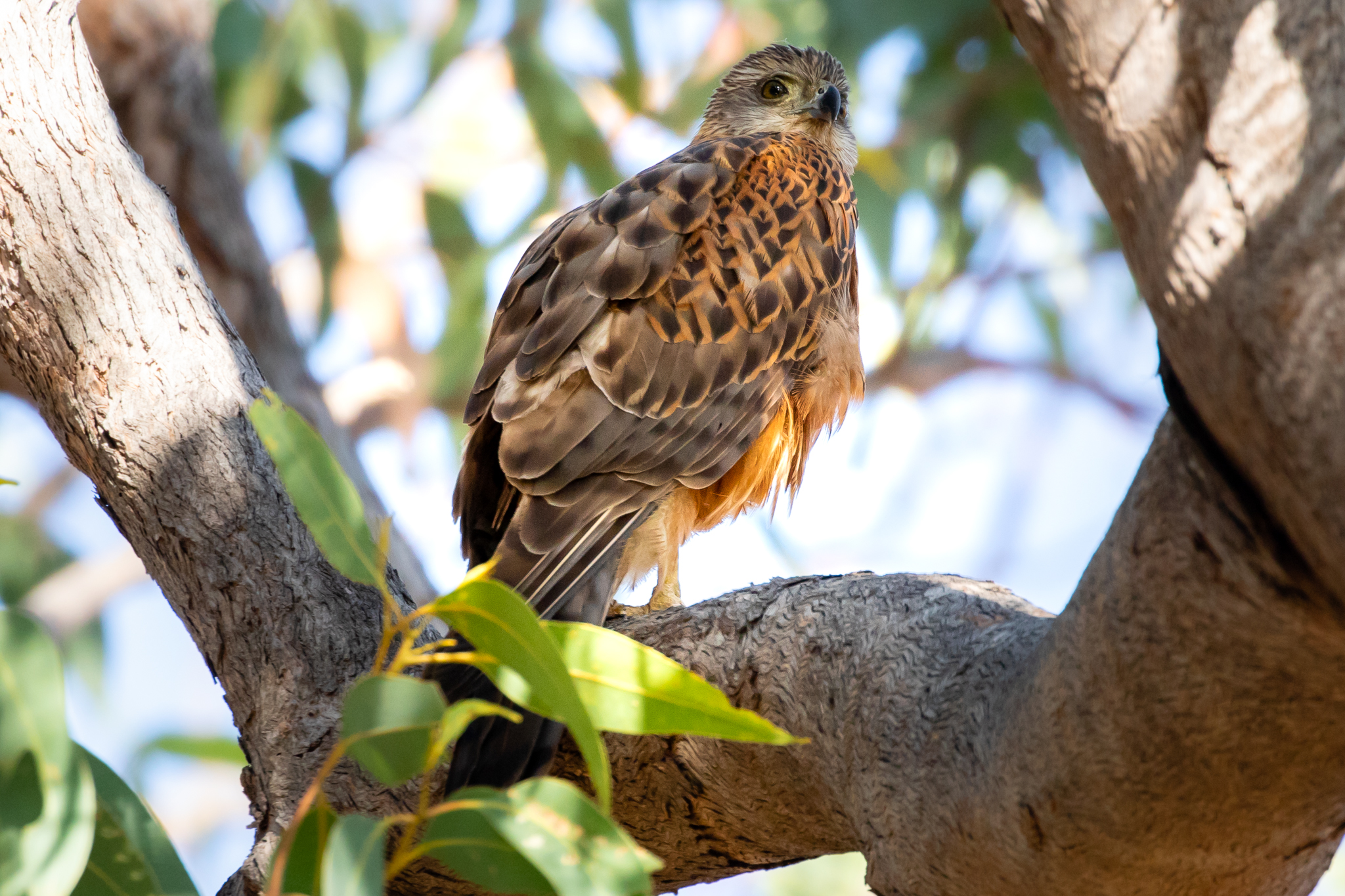 The rare Red Goshawk. They feed on small birds and even large birds such as Brush-turkeys and Kookaburras.