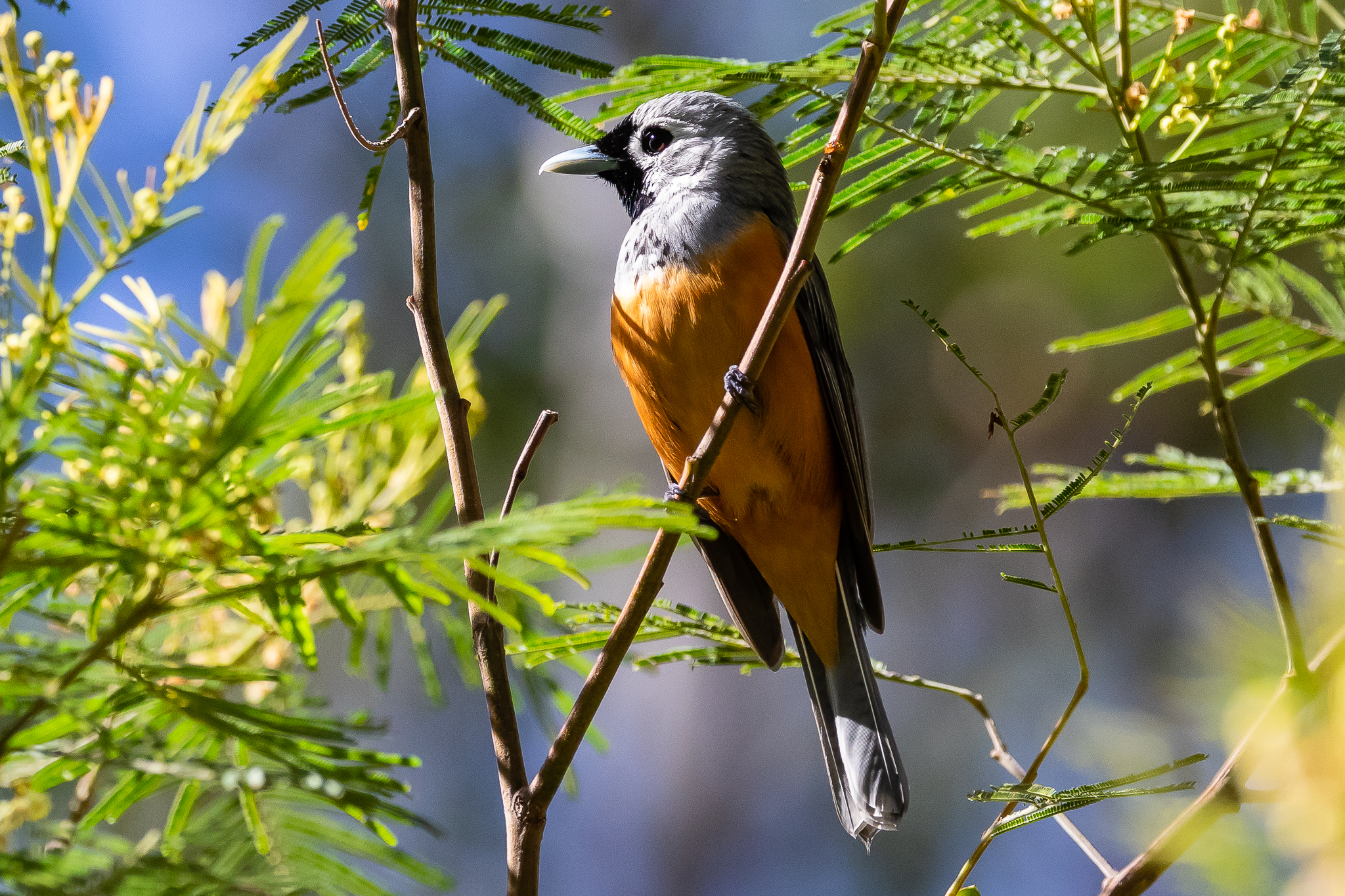 The Black-faced Monarch is found in South Coast forests and woodlands, feeding on insects it finds in the foliage or taking insects on the wing. It spends the winter in New Guinea and summers along the east coast of Australia.
