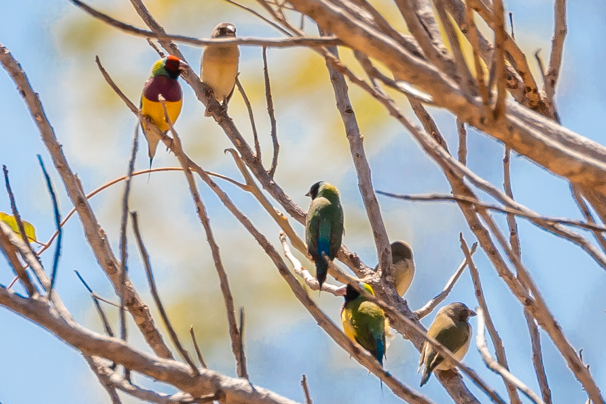 Red-headed and Black-headed Gouldian Finches (14 cm) perch above a waterhole near Katherine, NT. Gouldians feed on tall grasses across the tropical north, sometimes taking insects on the wing.