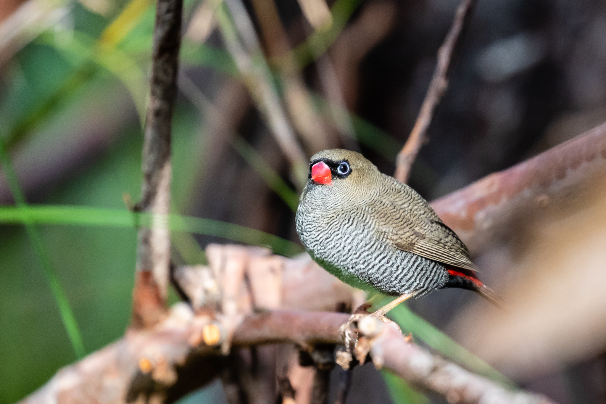 The Beautiful Firetail (13 cm) inhabits the south of Victoria, southern coastal NSW, South Australia and Tasmania. It prefers damp areas and feeds on seeds and insects in low undergrowth.