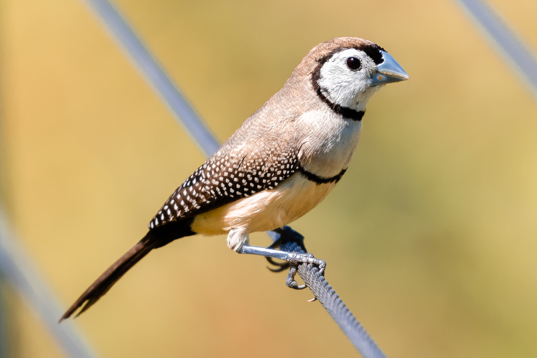The Double-barred Finch (11 cm) is found across northern and eastern Australia in grassy woodlands and forests. This bird with its white rump is from the northern race, the eastern race have a black rump. Double-barred Finches eat seeds and some insects.