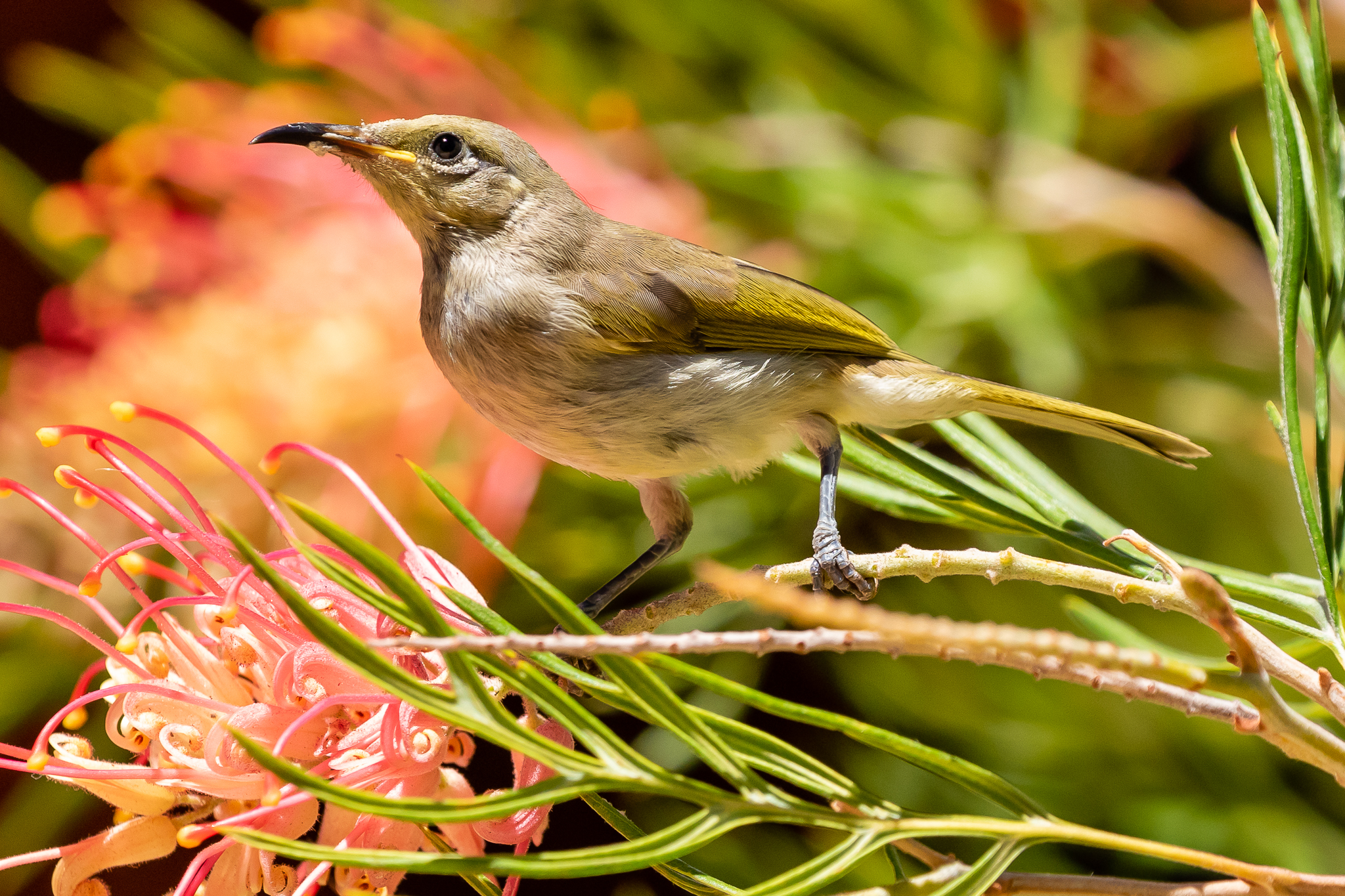 The Brown Honeyeater (16 cm) is common in WA. This bird was feeding on Grevilleas at the Kings Park cafe, along with Red Wattlebirds, Western Spinebills, White-cheeked and Tawny-crowned Honeyeaters.