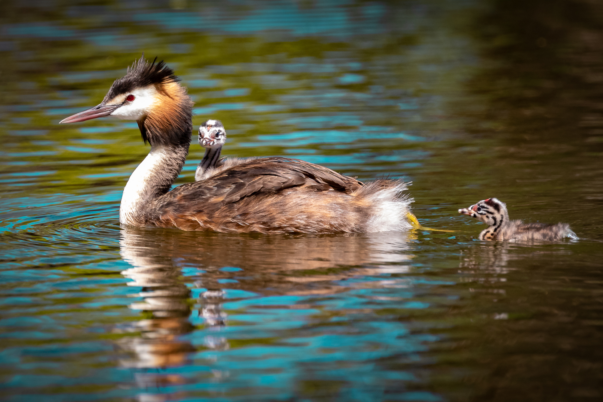 Herdsman Lake is a good place to view Great Crested Grebes (61 cm) and their families in action. Great Crested Grebes dive for fish and prefer diving to flying when disturbed. They are found in all Australian states.