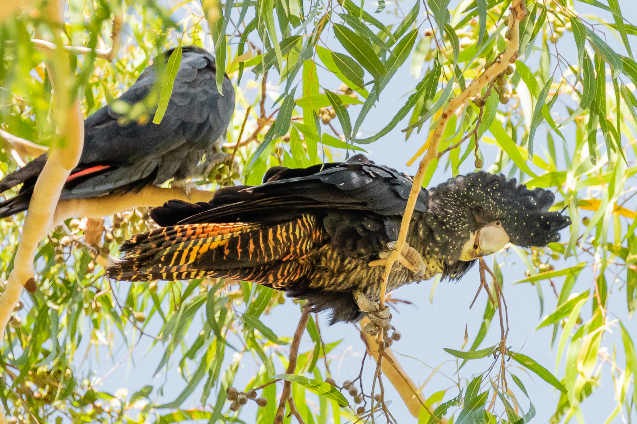 The South-Western race of Red-tailed Black-Cockatoo is also listed as threatened. The male (top) shows scarlet panels in the tail, the female (lower) shows her barred tail and white spots.
