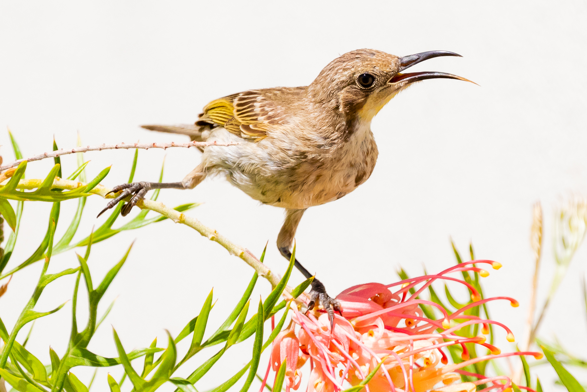 This young Tawny-crowned Honeyeater (17 cm) shows the immature plumage, lacking the adult's dark mask that extends down to the breast.