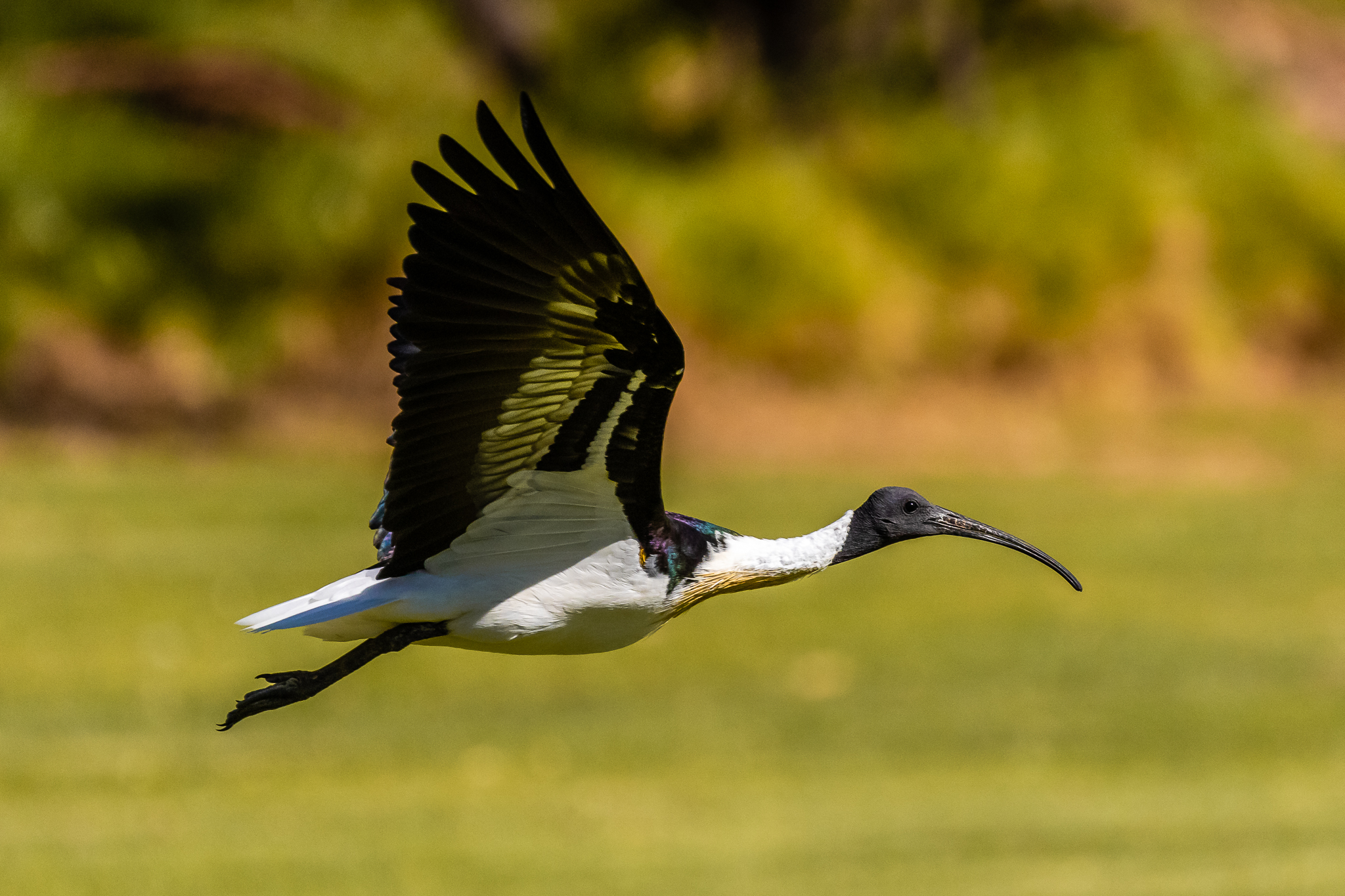 Straw-necked Ibis (70 cm) are seen feeding on insects in the parks around Perth. Often in small to very large flocks.