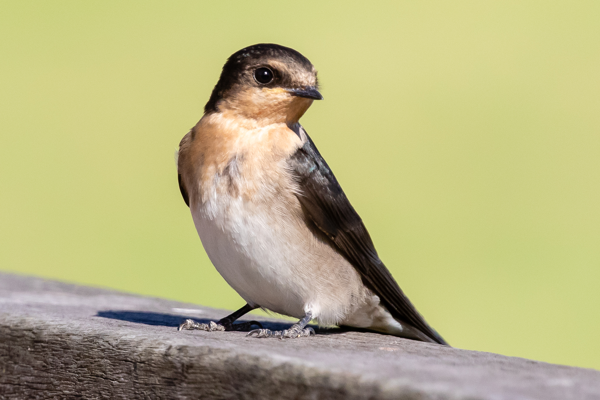 Welcome Swallows (15 cm) and Tree Martins can be seen across flying low across Perth's parks and waterways.