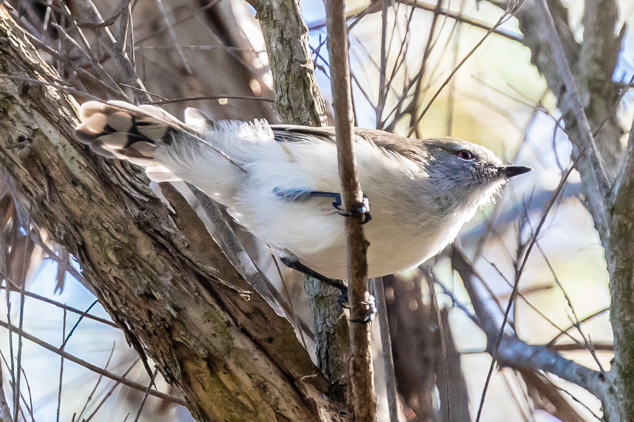 This Western Gerygone (11 cm) was seen on the Olive Seymour boardwalk at Herdsman Lake.