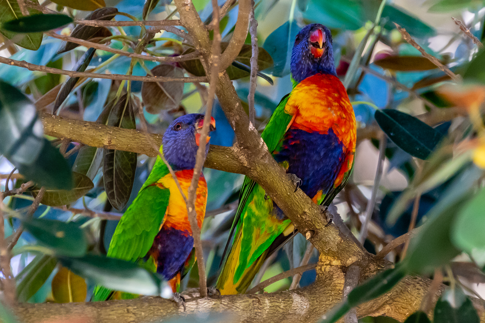 As in other parts of Australia, the Rainbow Lorikeet makes its noisy and aggressive presence in the city of Perth and its surrounds.