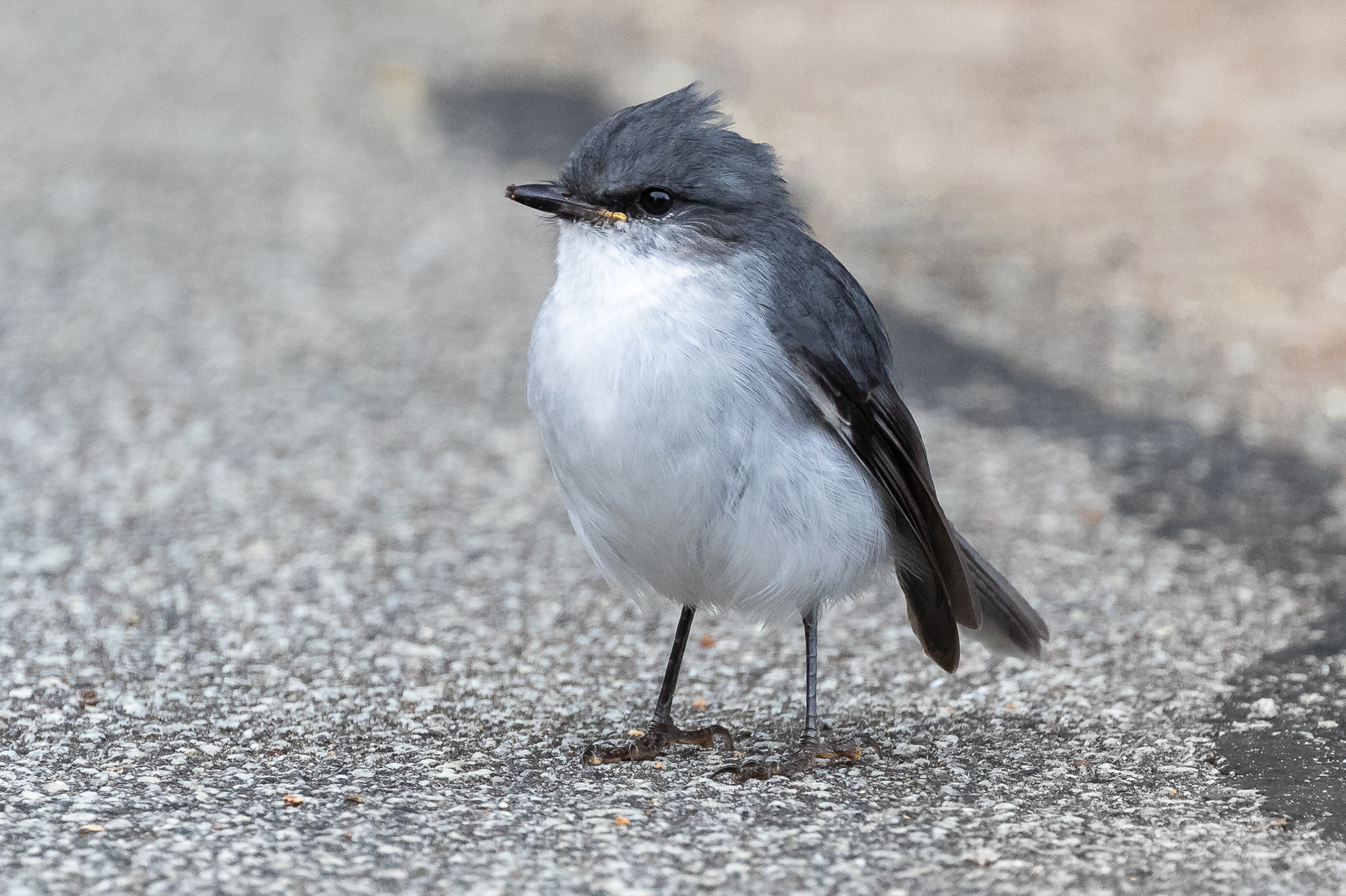 The White-breasted Robin is endemic to the south west corner. This bird had just plucked an ant off the ground on the Ellen Cove Board Walk at Middleton Beach, Albany.