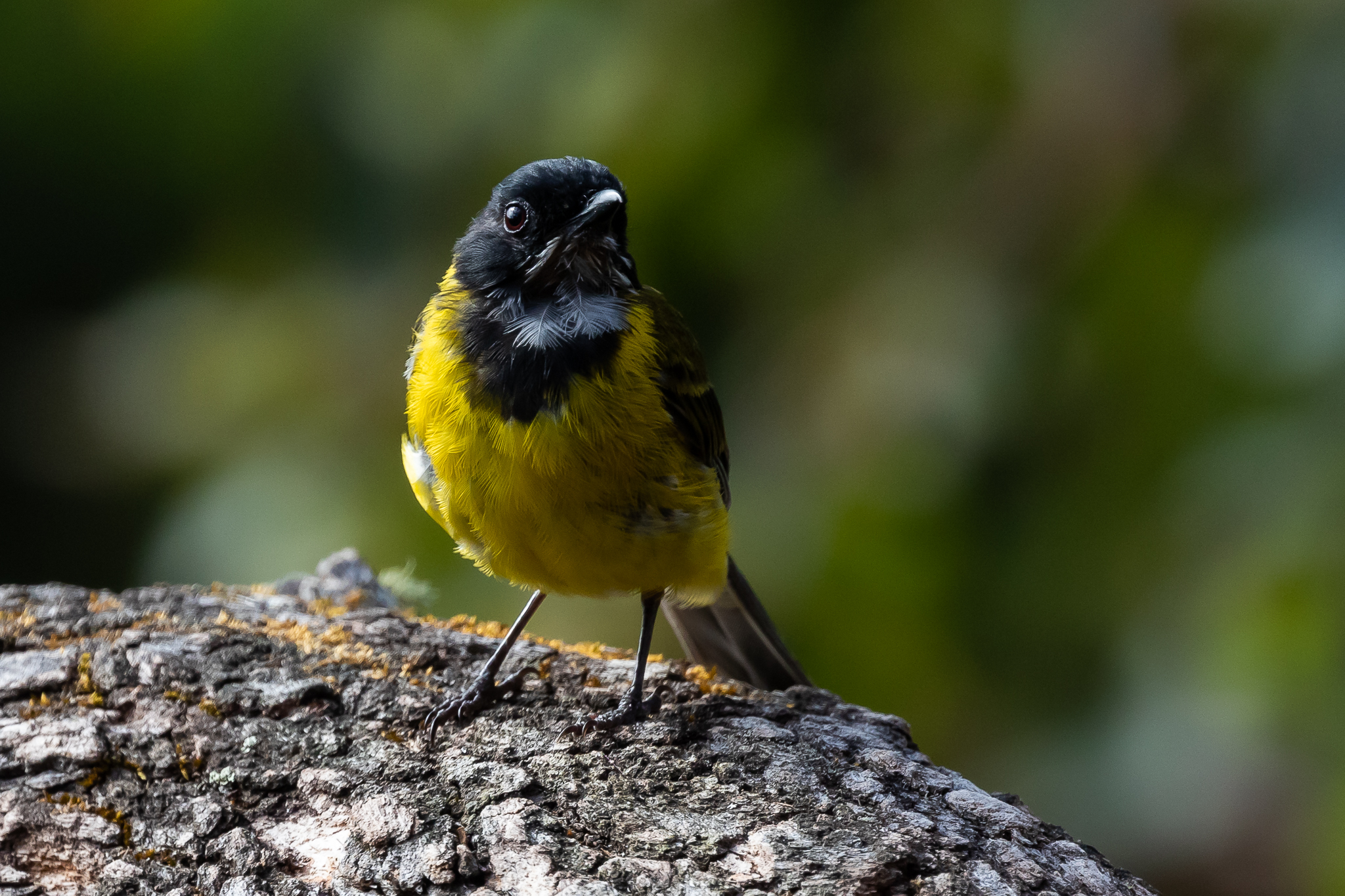 The Western Golden Whistler is another Australian species which has diverged at the extremes of the continent. There is controversy as to this birds relationship with the Golden Whistler of other areas.