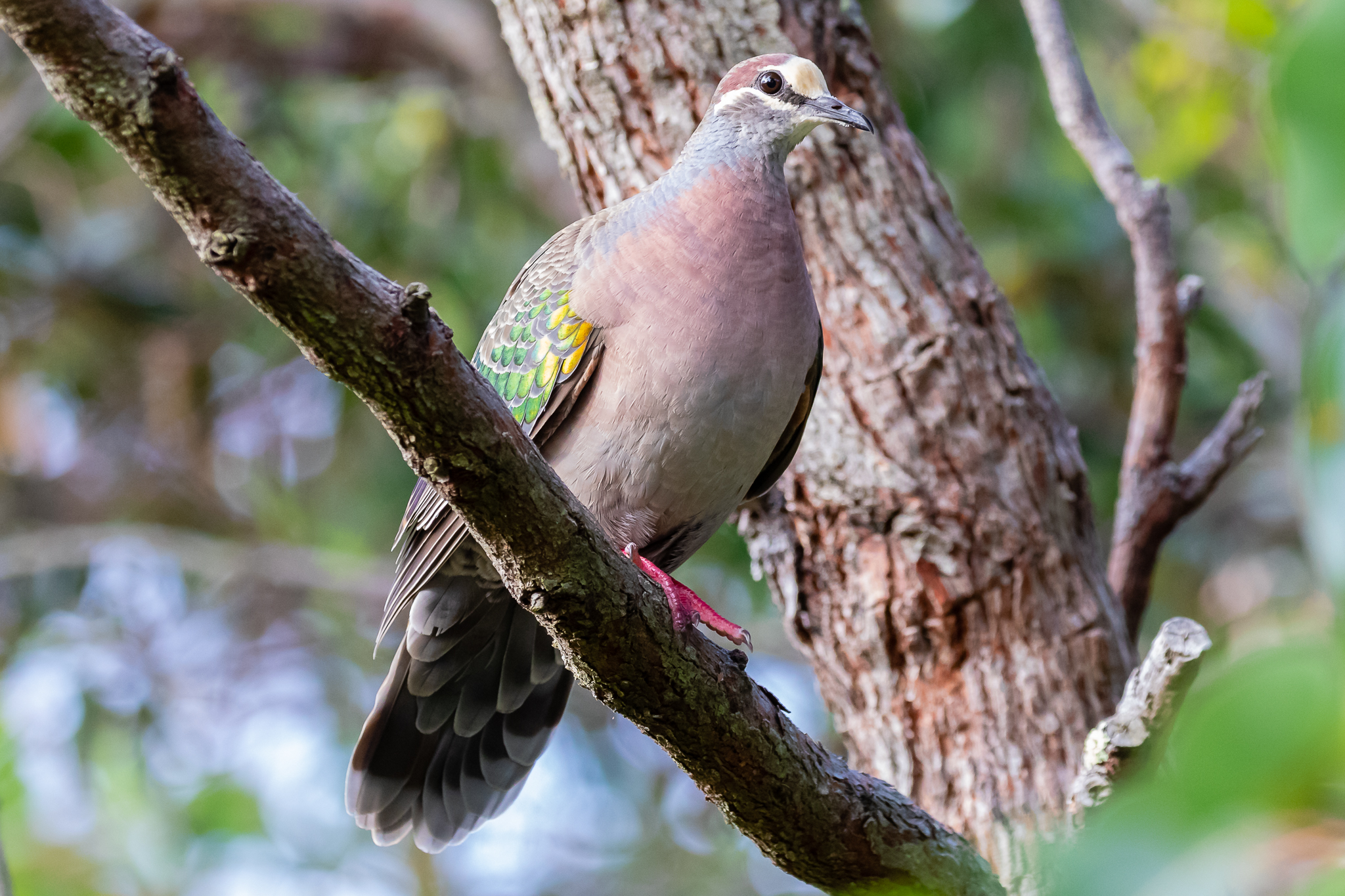 The Common Bronzewing is indeed common around Albany, with its low booming ship's foghorn call.