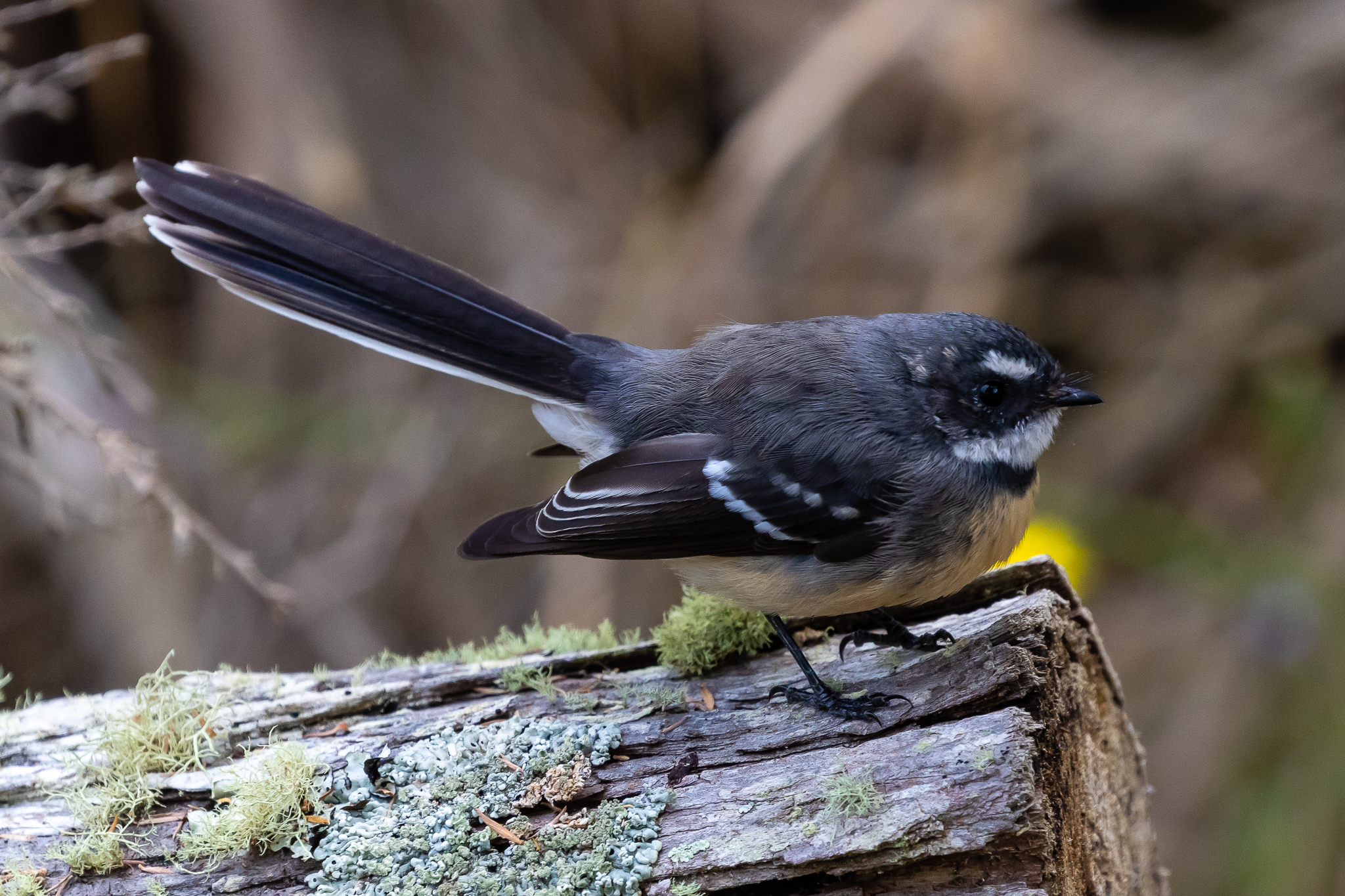 The South-West race of Grey Fantail is known for the darker colouration of its back.