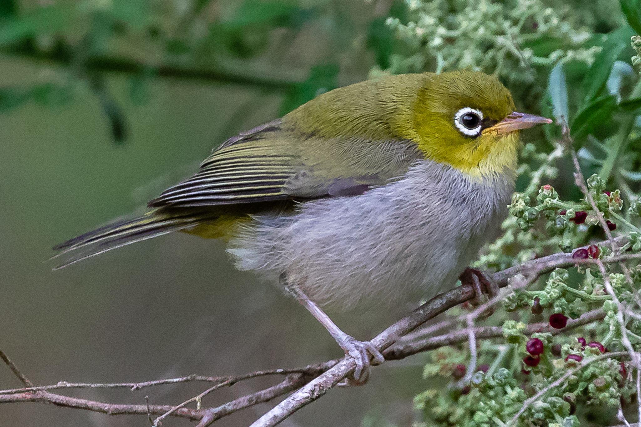 The Western Silvereye varies from other Australian races of SIlvereye having a back coloured olive green rather than blue-grey.