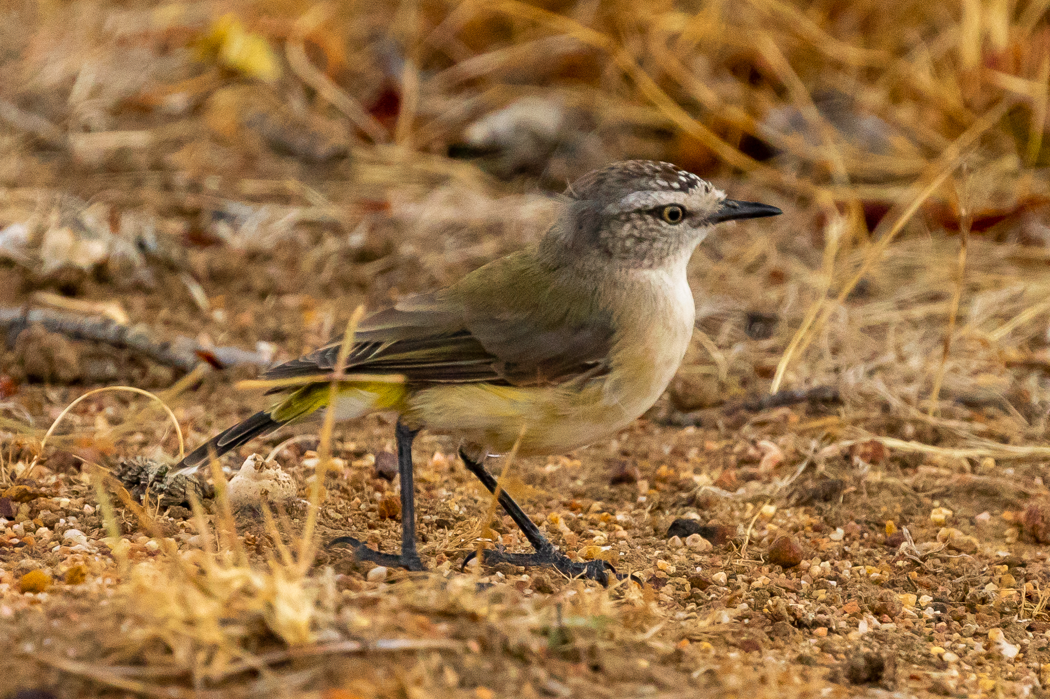 Yellow-rumped Thornbills are especially common in the open fields and farmlands to the north of Albany.