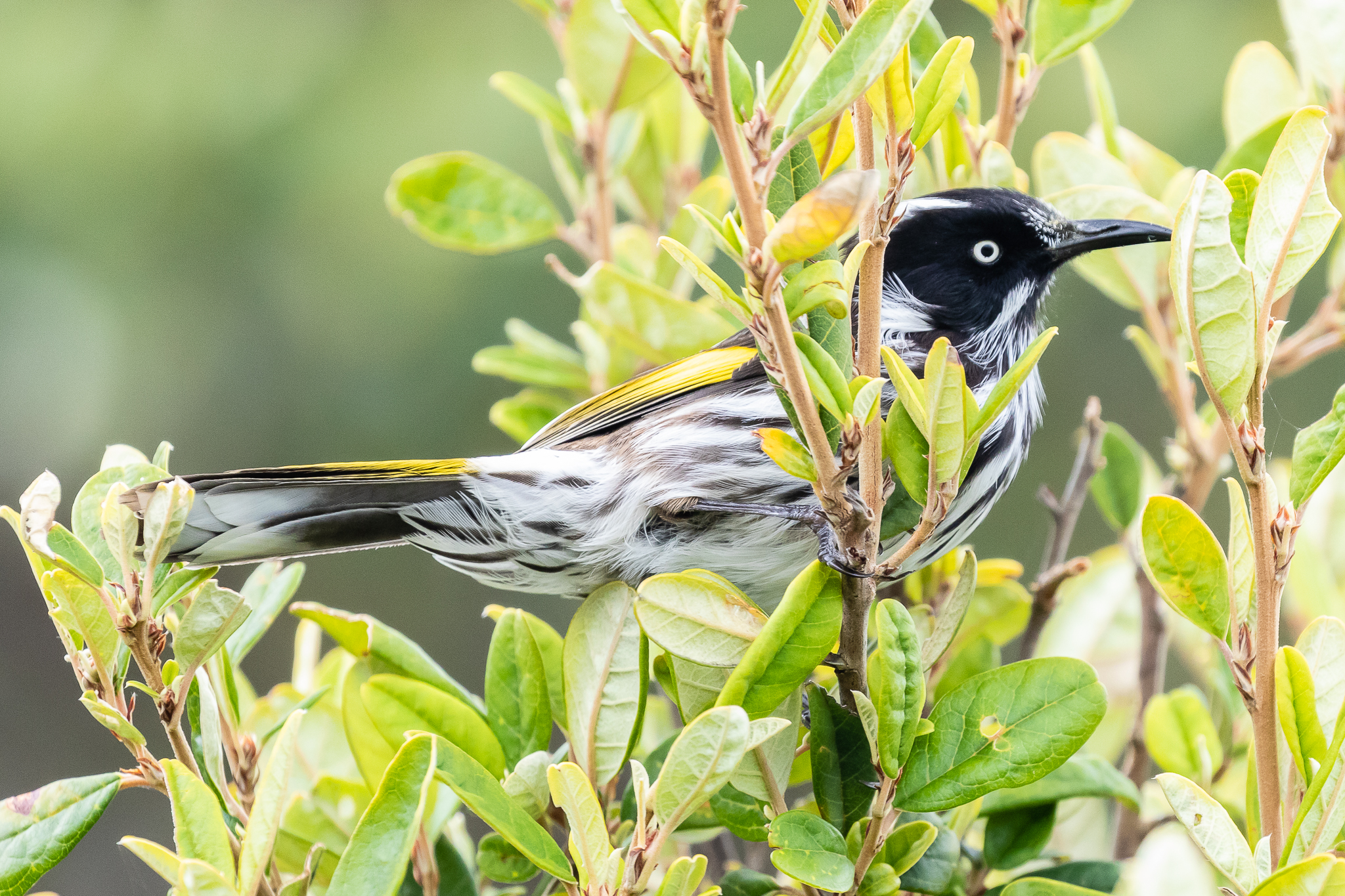 The New Holland Honeyeater is common around the south-east, southern and south-west coastlines of Australia. Often seen close to the beach.