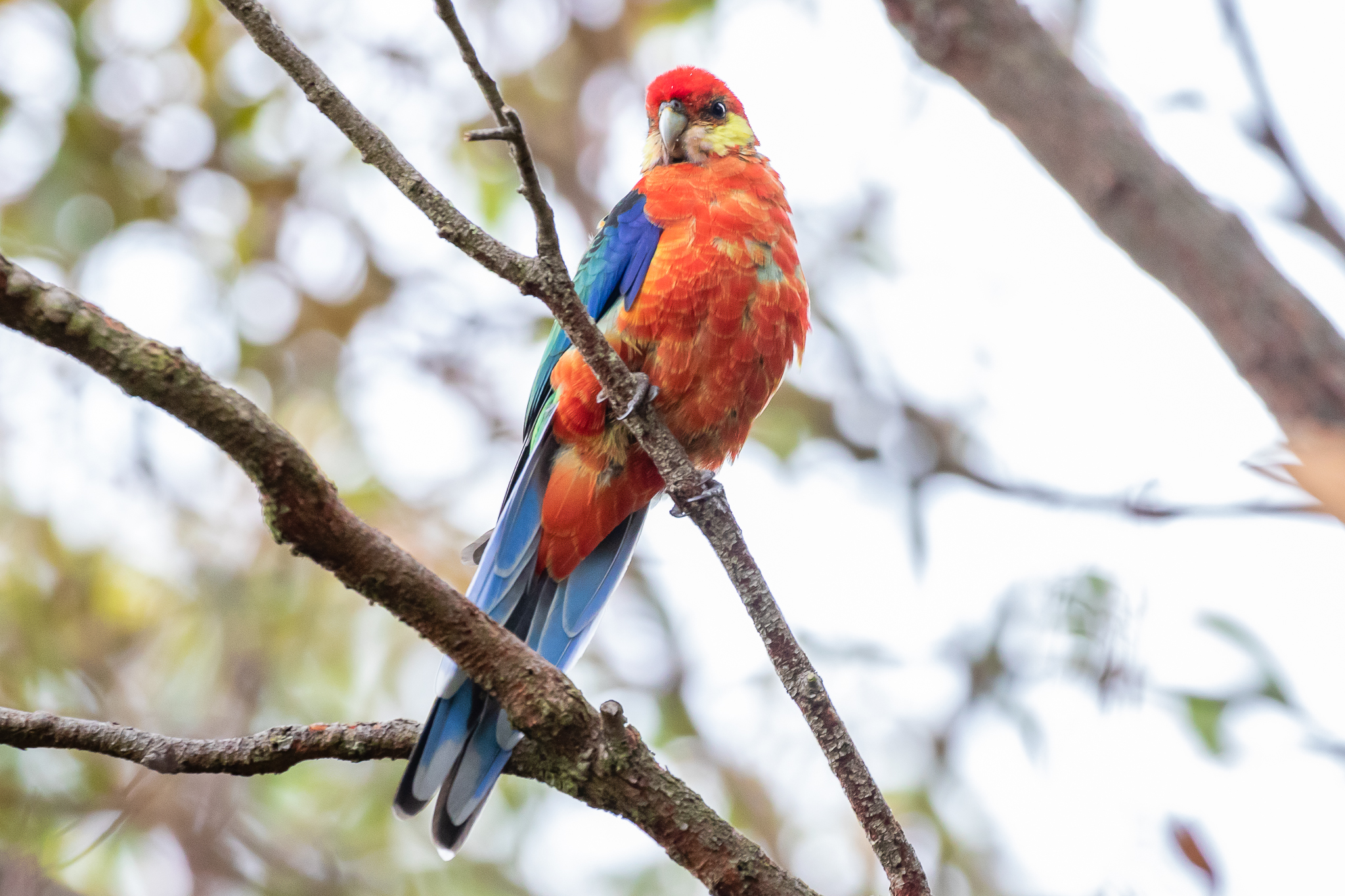 The Western Rosella provides a beautiful variation of the Rosella's colouration. This bird sports the coloration of the far-south-west region, with a blue-green back. The back colour grades into red towards the north-west.