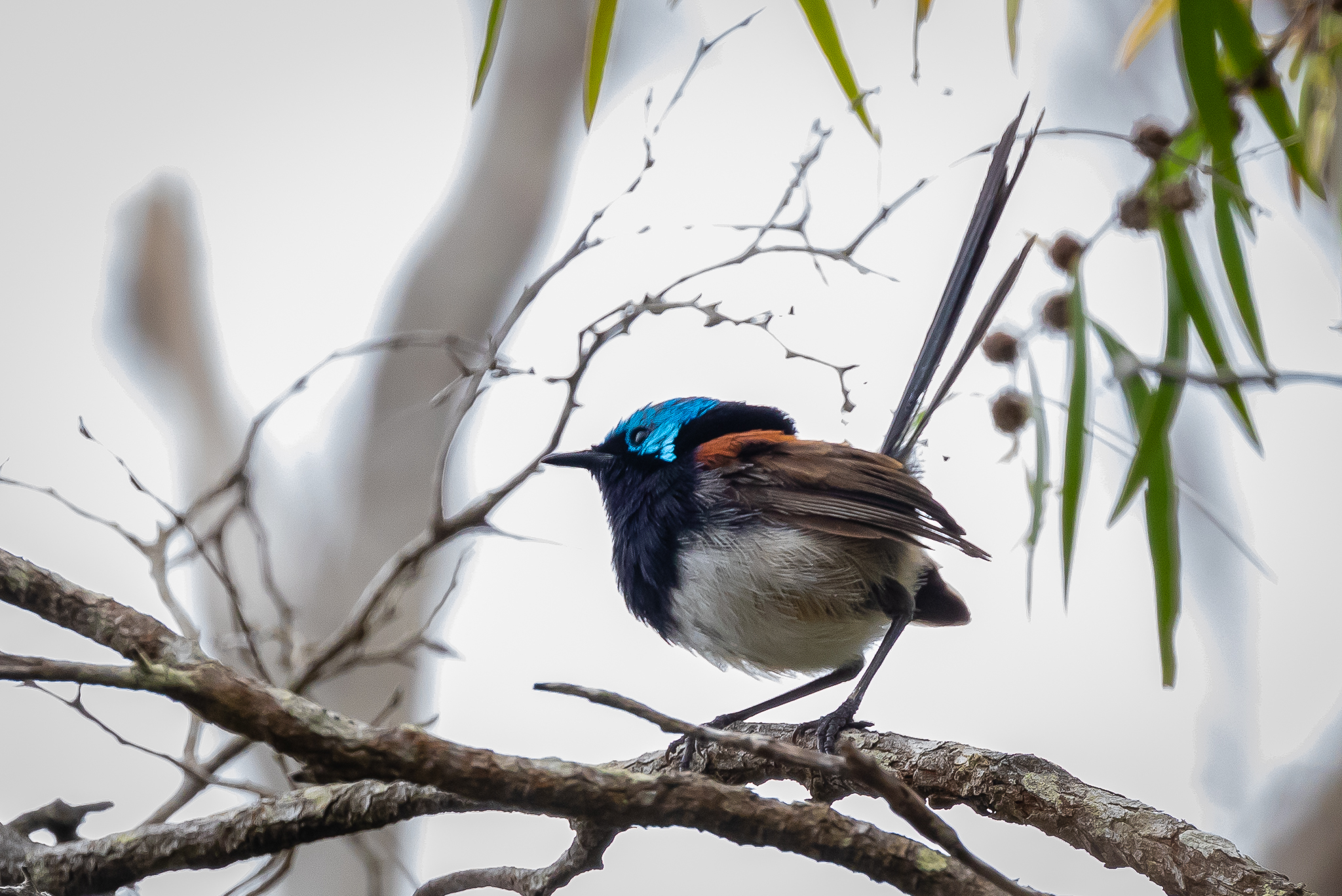 A Red-winged Fairy-wren (16 cm) perched by the path at Lake Seppings.