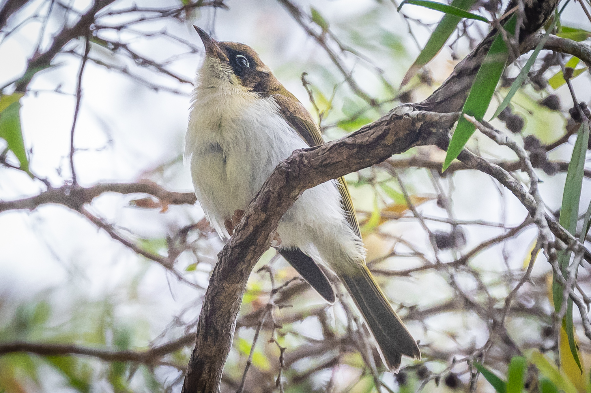 The eastern White-naped Honeyeater has a distinctive red eye crescent but in the Western White-naped Honeyeater the eye colour is light blue to almost white, as is apparent in this bird.