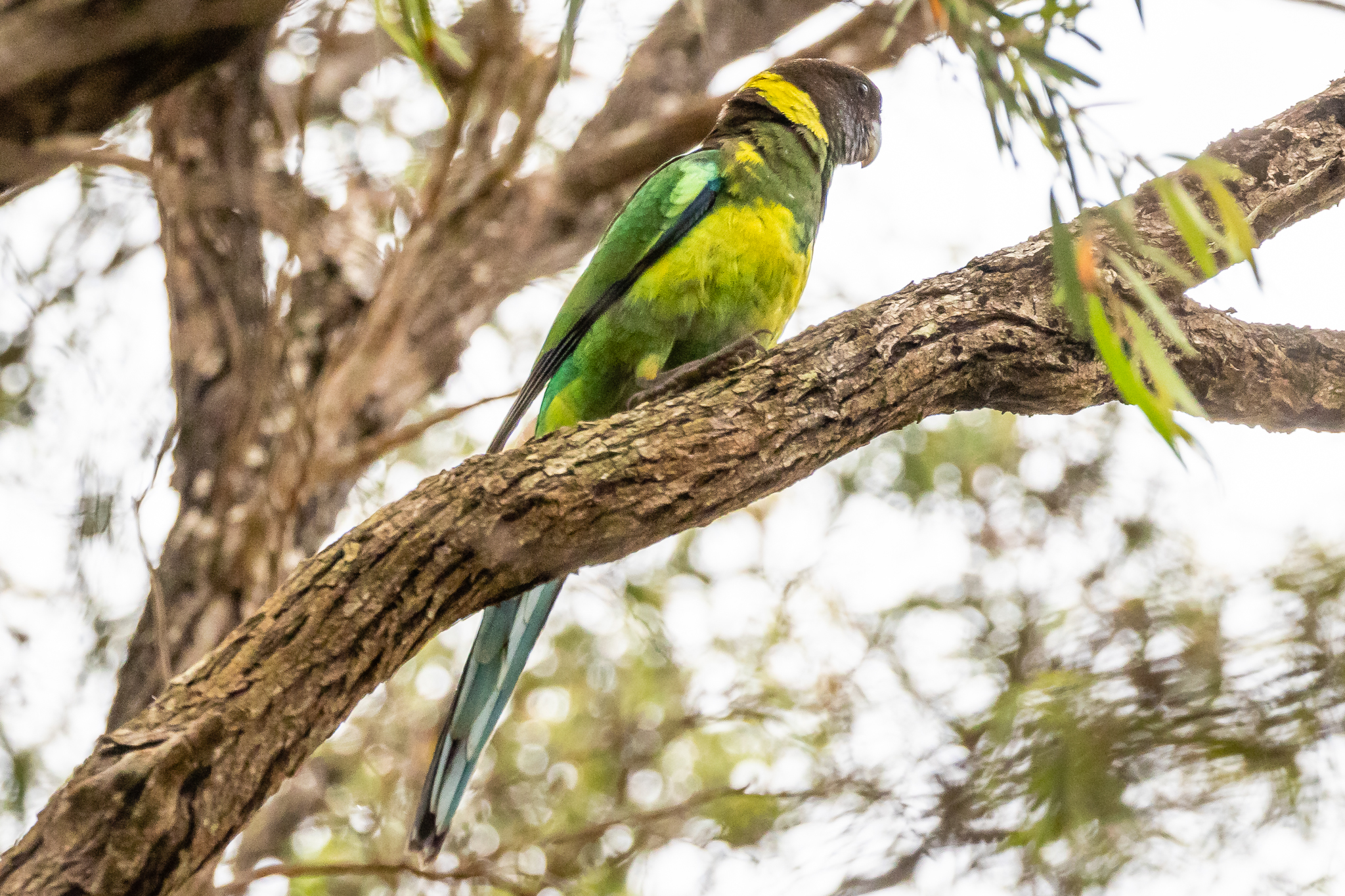 """The """"Twenty-eight Parrot"""", named for its three note call, is one of the Australian Ringneck (38 cm) races found in the south-west area."""