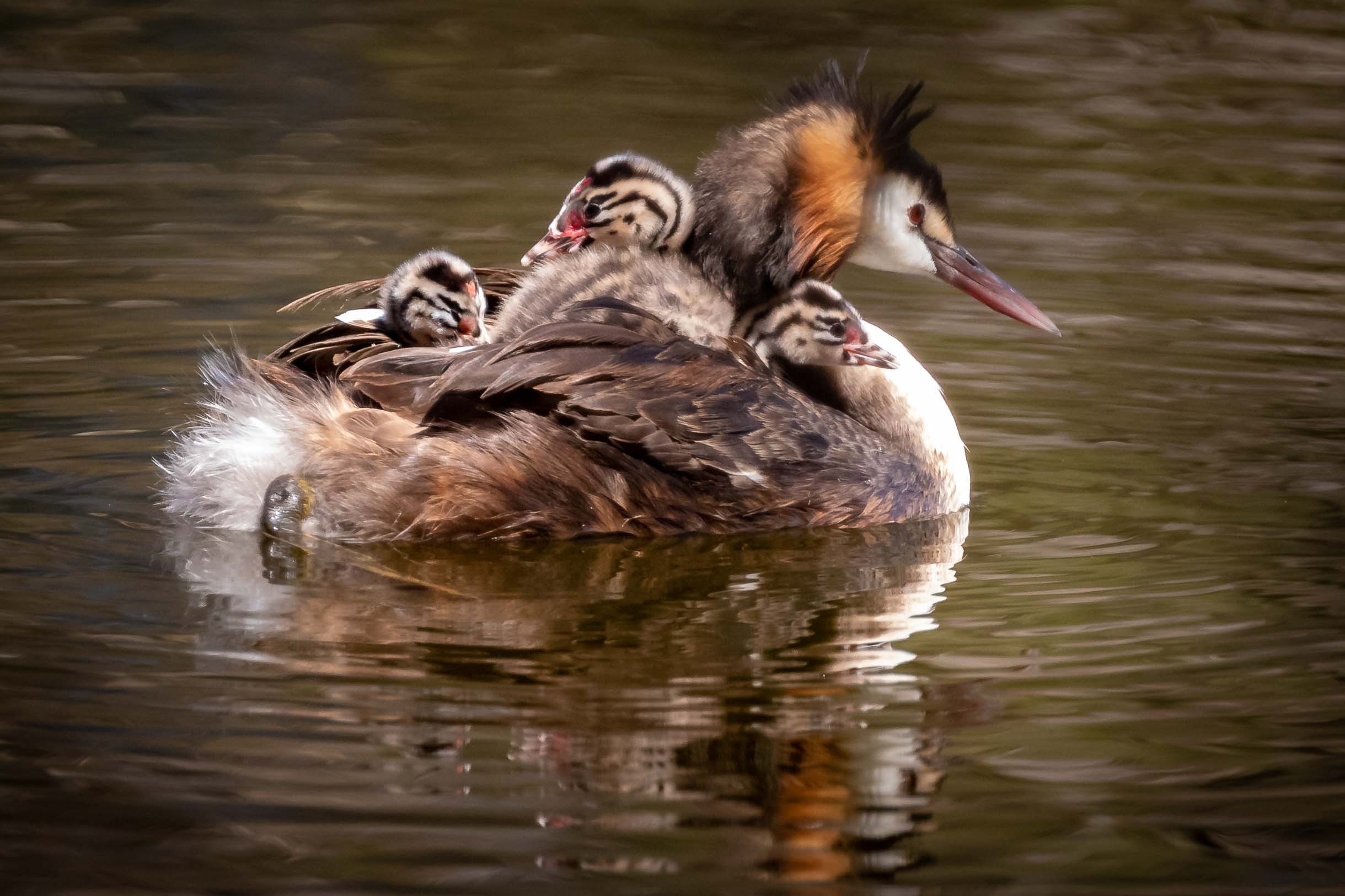 Great Crested Grebe with young at Herdsman Lake in Perth WA.