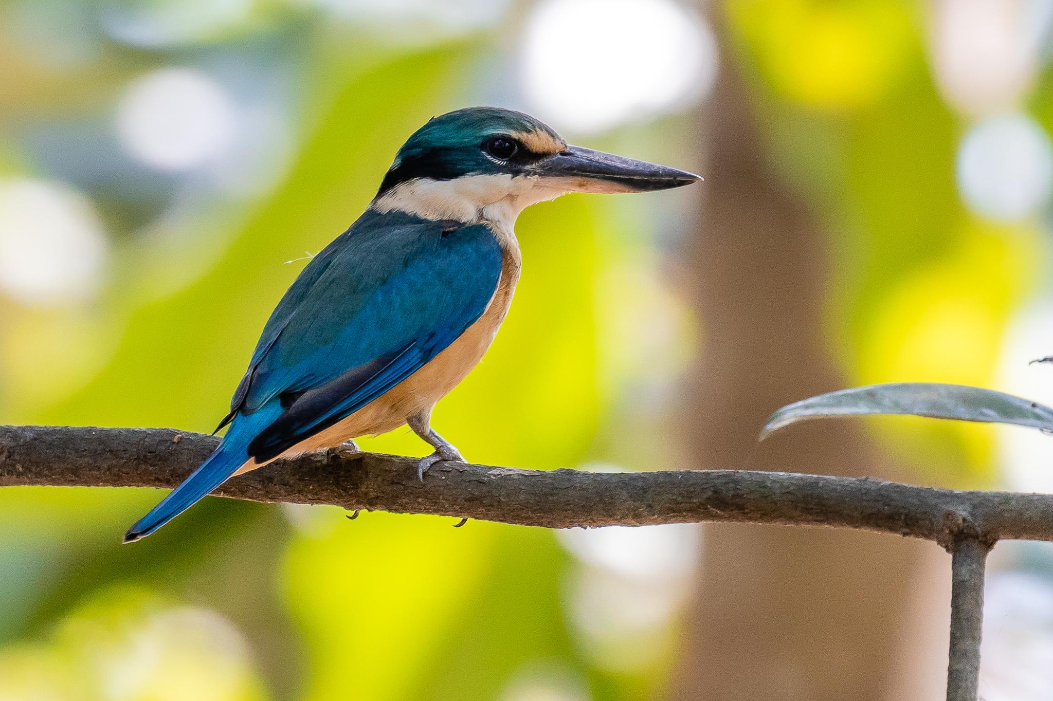 Sacred Kingfisher seen at Howard Springs Nature Park near Darwin, NT.
