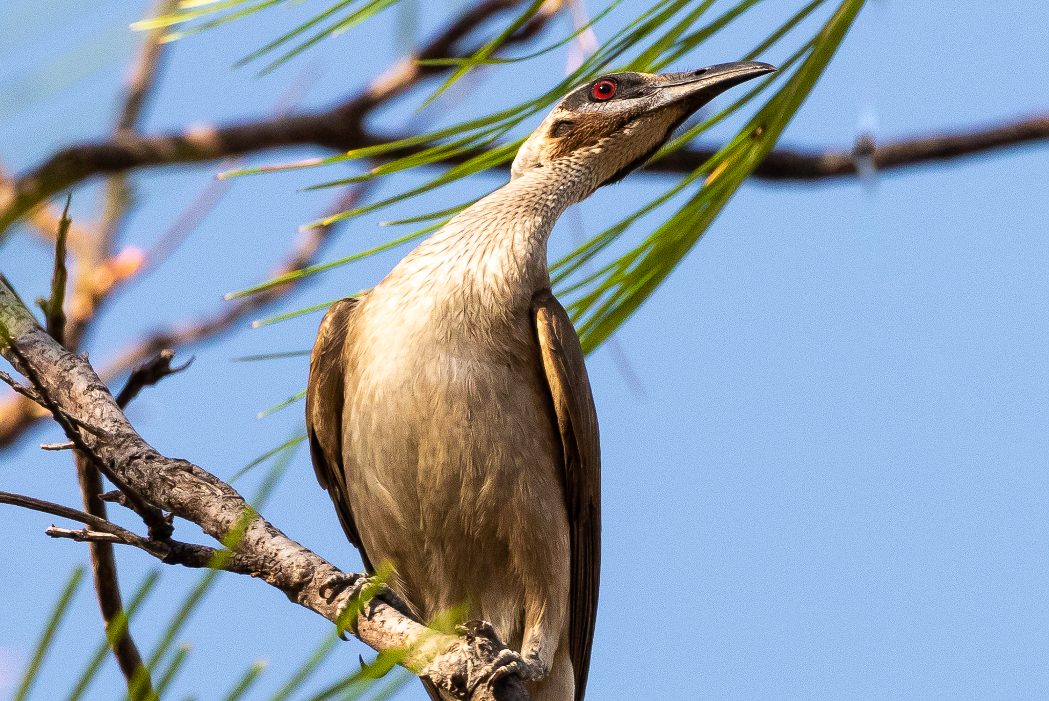 Little Friarbird at Mary River Ranger Station, NT.