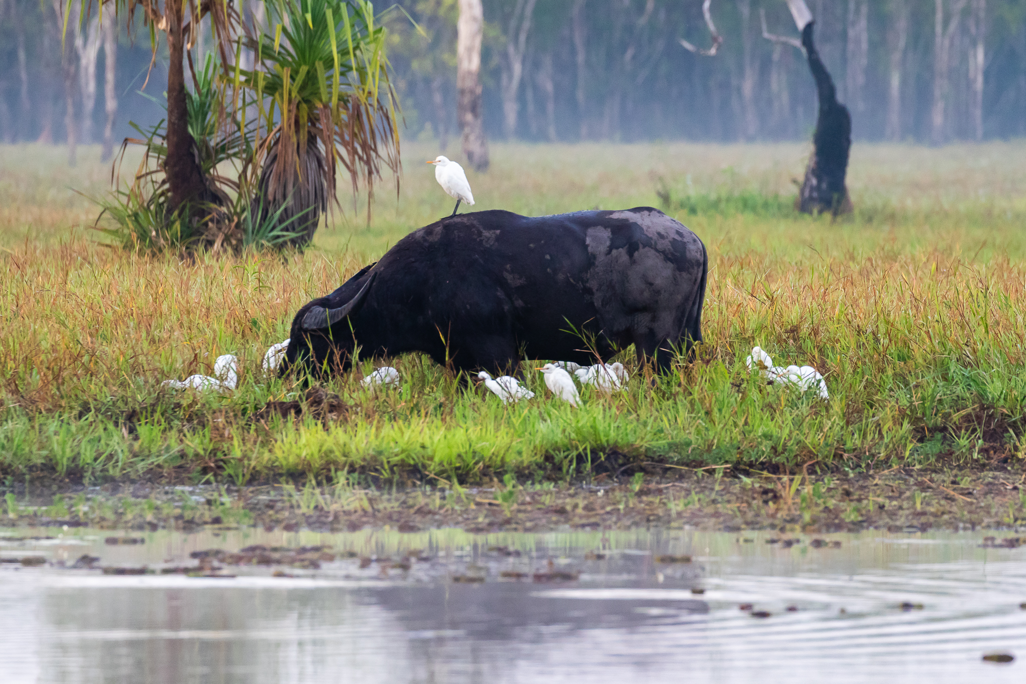Cattle Egrets and Water Buffalo on the Yellow Water, NT boat cruise.