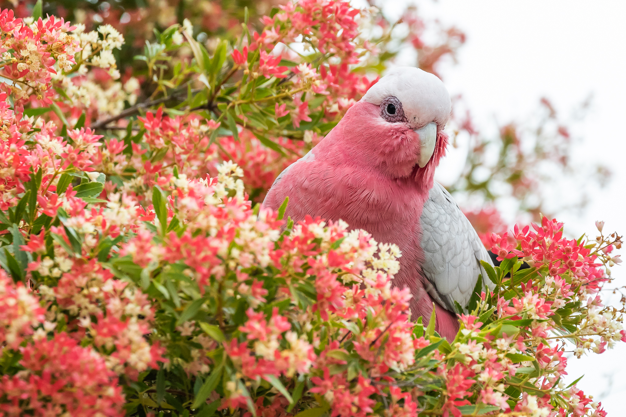 Galahs (38 cm) are one of Australia's most widespread birds, found in cities, on beaches and in the bush. They feed on seeds from the ground and take advantage of cultivated grain production supplemented by nectar.