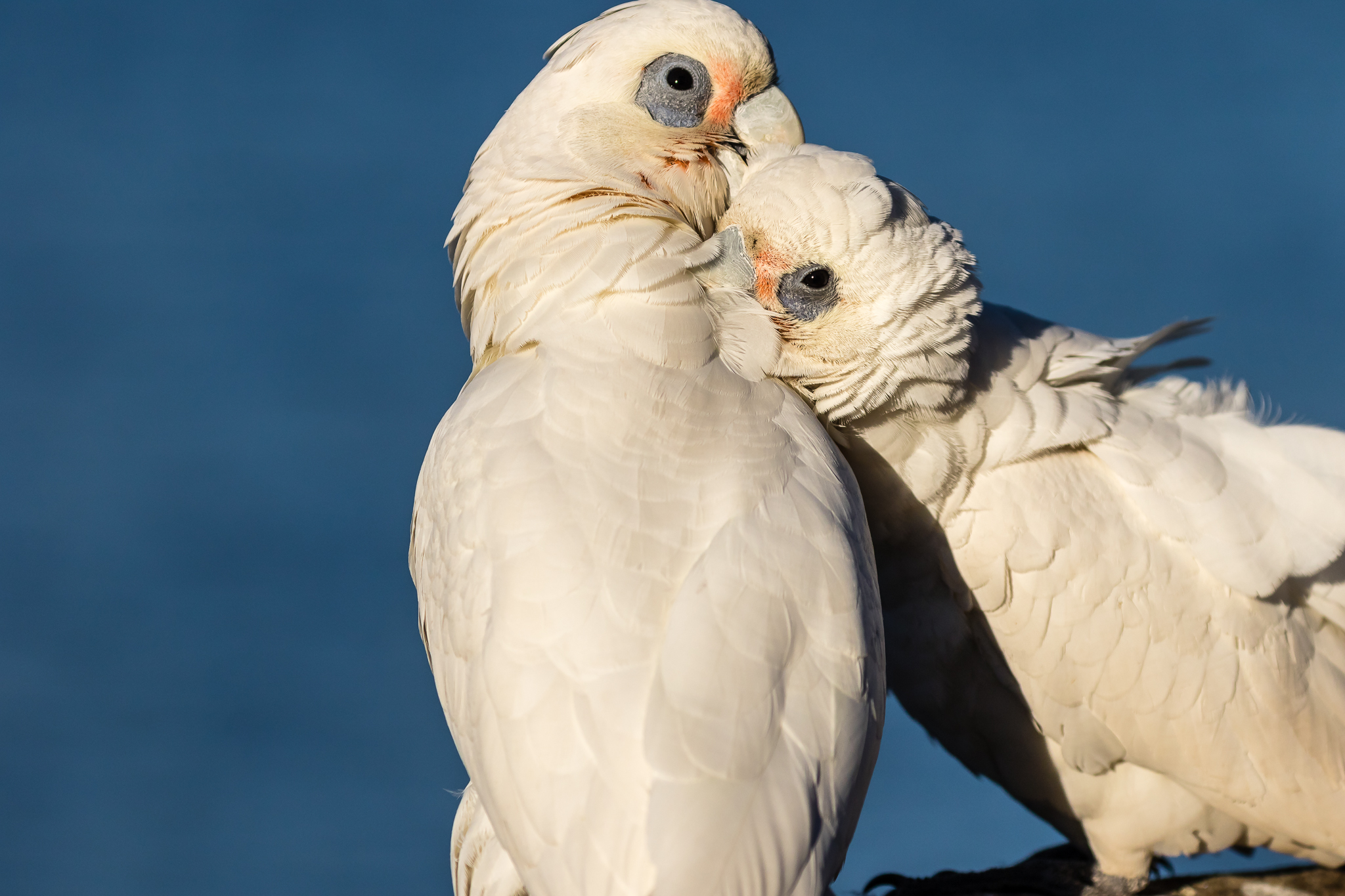 The Australian Cockatoo family includes these Little Corellas, Cockatiels and Galahs as well as the large Cockatoos. Little Corellas (39 cm) are found widely across Australia, sometimes in very big flocks, feeding mainly on grass-seeds.