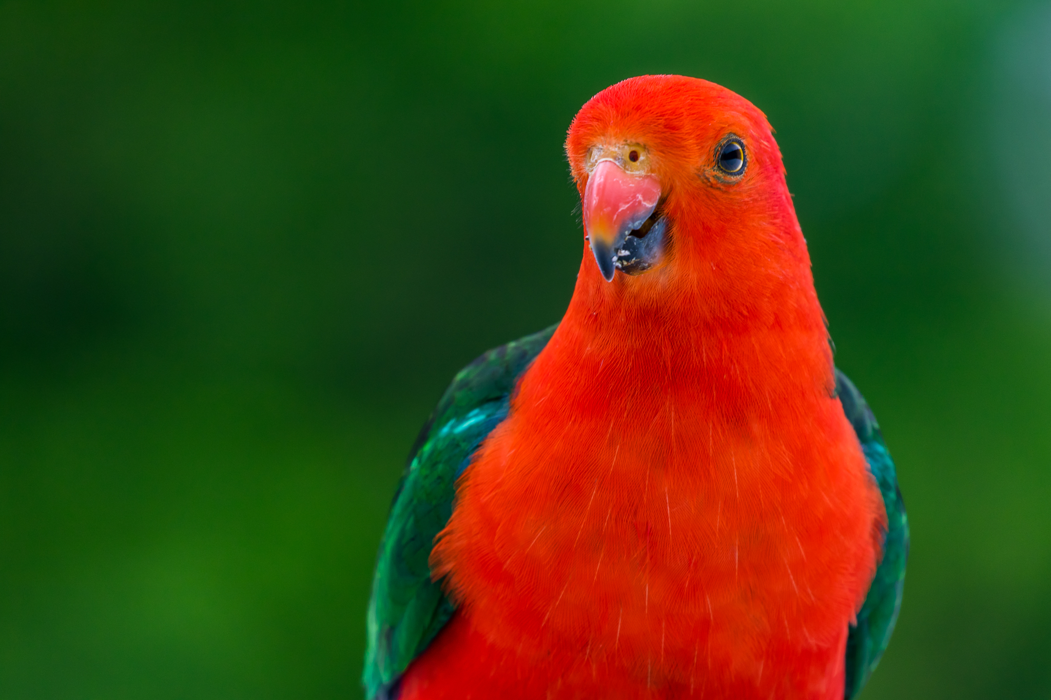Australia's largest true parrot is the King-Parrot (44 cm), found in the rainforests of Australia's east coast. Australian King-Parrots feed in the trees on seeds and fruit. The male is recognised by its scarlet head while the female's head is green.
