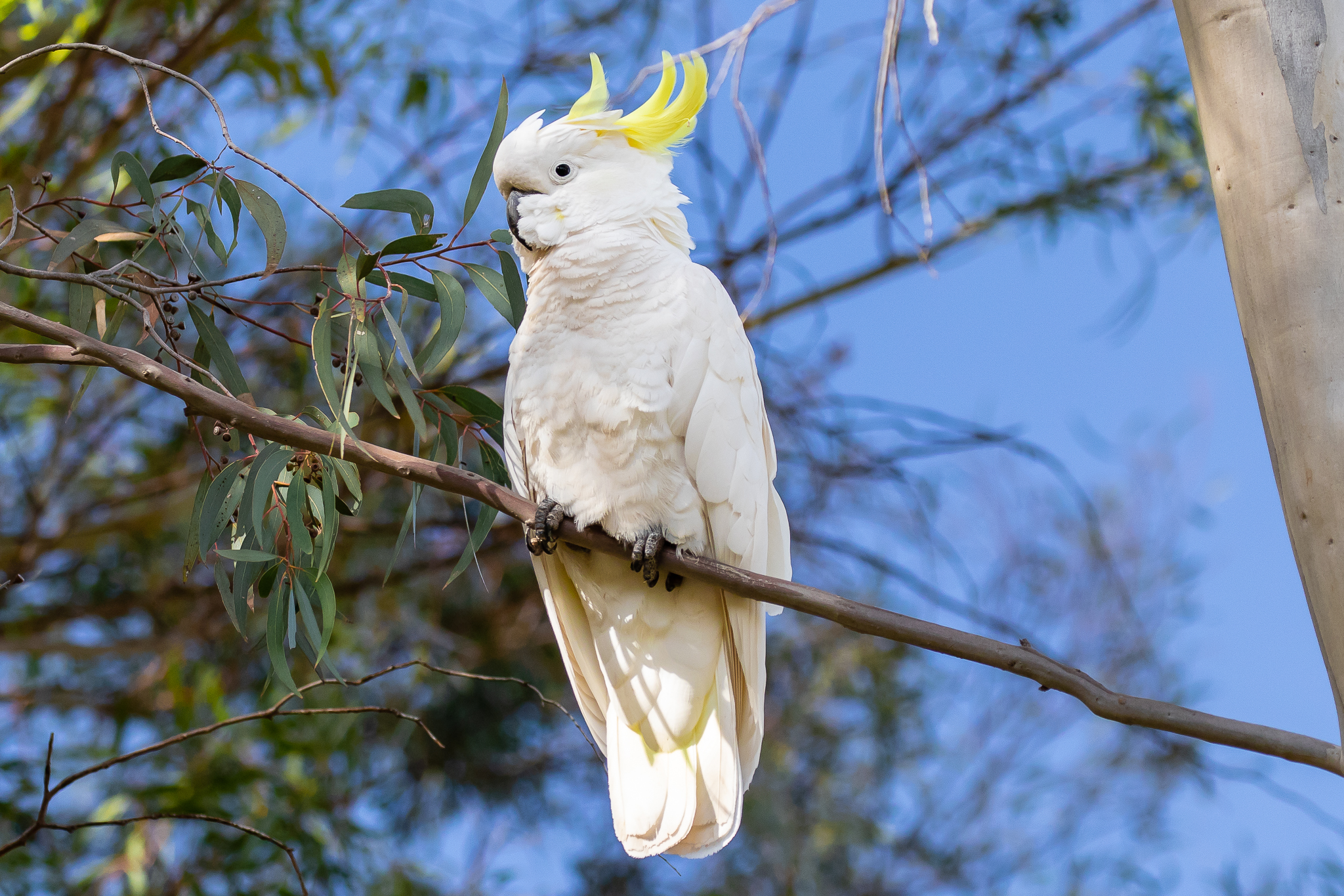 The raucous Sulphur-crested Cockatoo (50 cm) is also widely seen in Australia's northern and eastern states. Their normal diet consists of berries, seeds, nuts and roots but they also chop the end of small branches and attack wooden window panes.