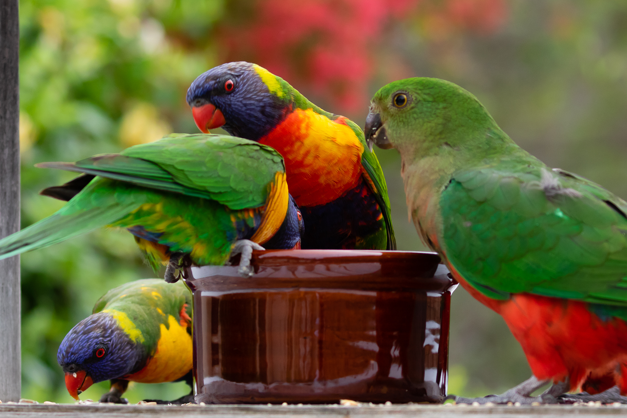 The Rainbow Lorikeet (31cm) is another of Australia's most common birds found along the east coast, the south-east and Perth. They are aggressive out competing others for nest sites and food. The King Parrot on the right waits her turn for food!