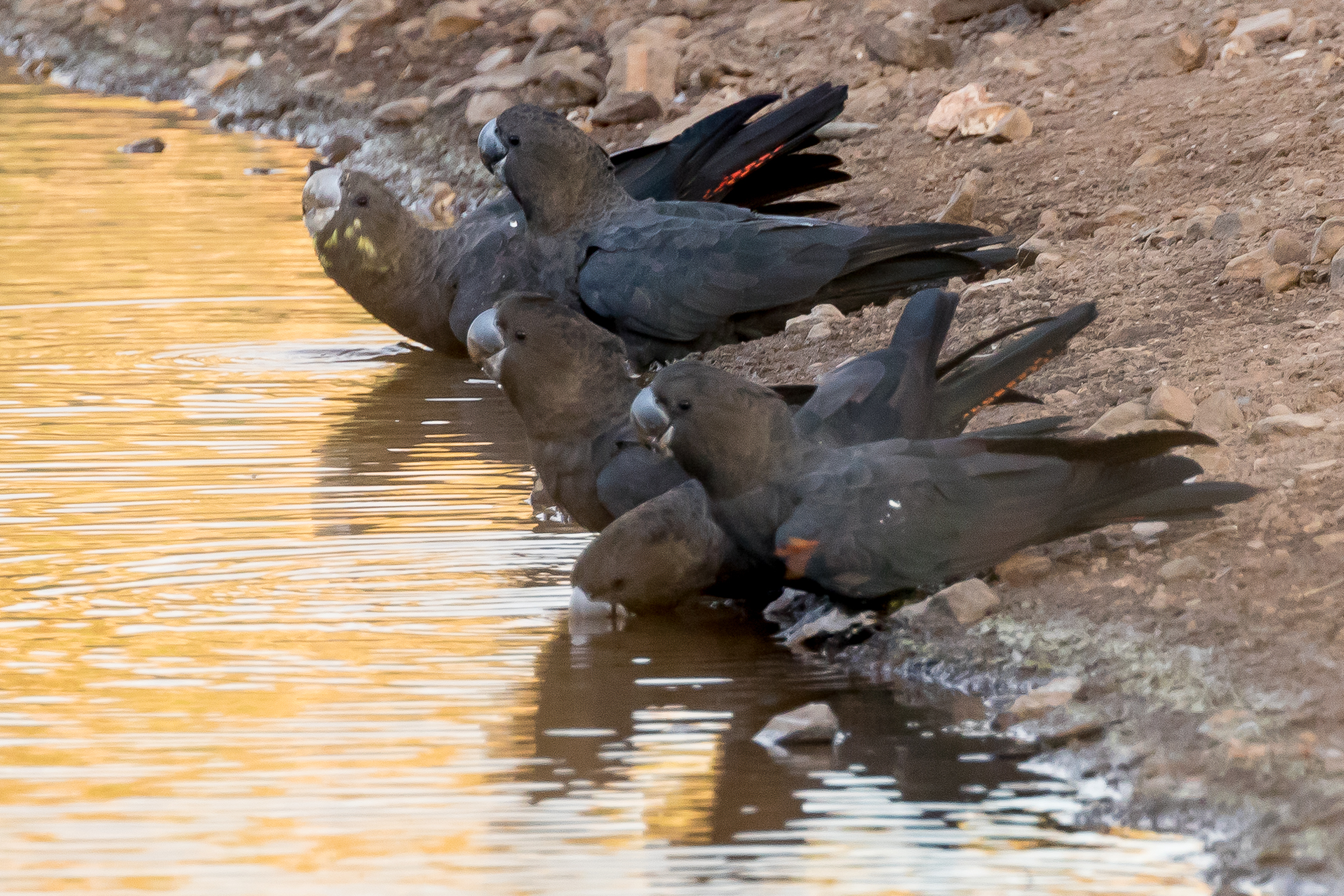 These Glossy Black-Cockatoos (50 cm) drink at dusk at a waterhole in a large casuarina woodland. They are found in south east Australia, extracting the seed from casuarina cones supplemented by occasional insect larvae.