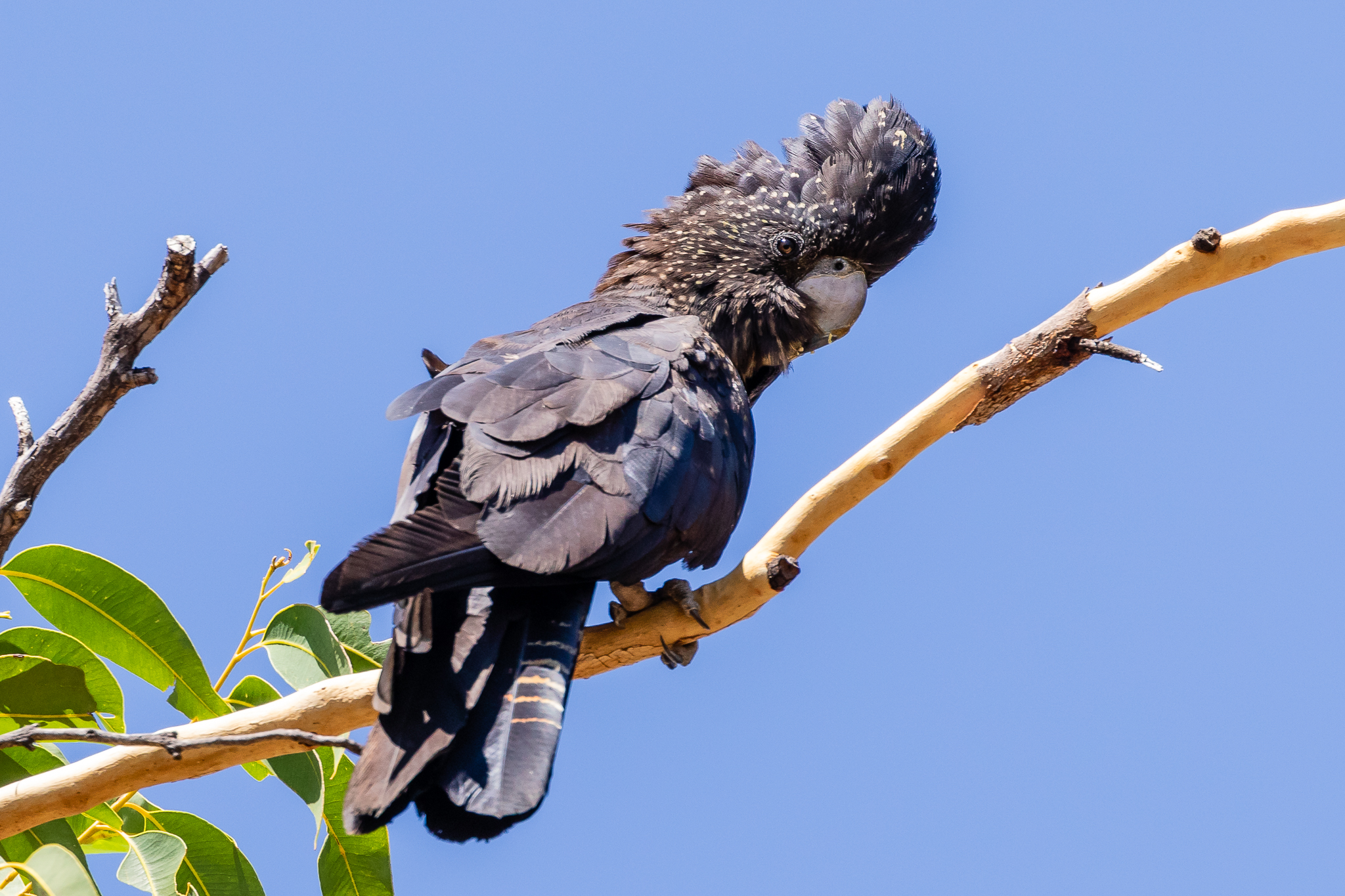 The Red-Tailed Black-Cockatoo (65 cm) is seen in the north, the west and some central areas of Australia. They eat eucalypt, casuarina and banksia seeds using their bill to extract seeds from hard seed pods. They tear holes in trees to find insect larvae.