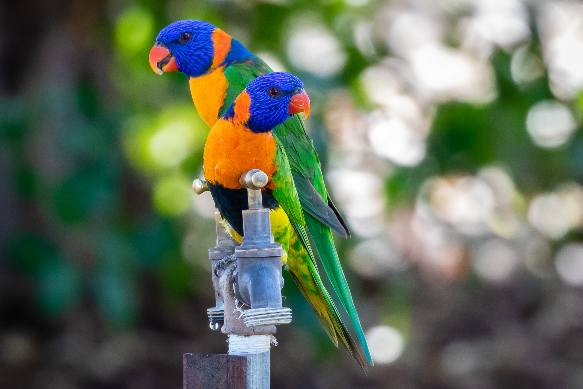 Lorikeets are true parrots. The Red-collared Lorikeet (31 cm) is only found in the Northern Territory and north of Western Australia. They feed on fruit, nectar, blossoms, seeds and berries.