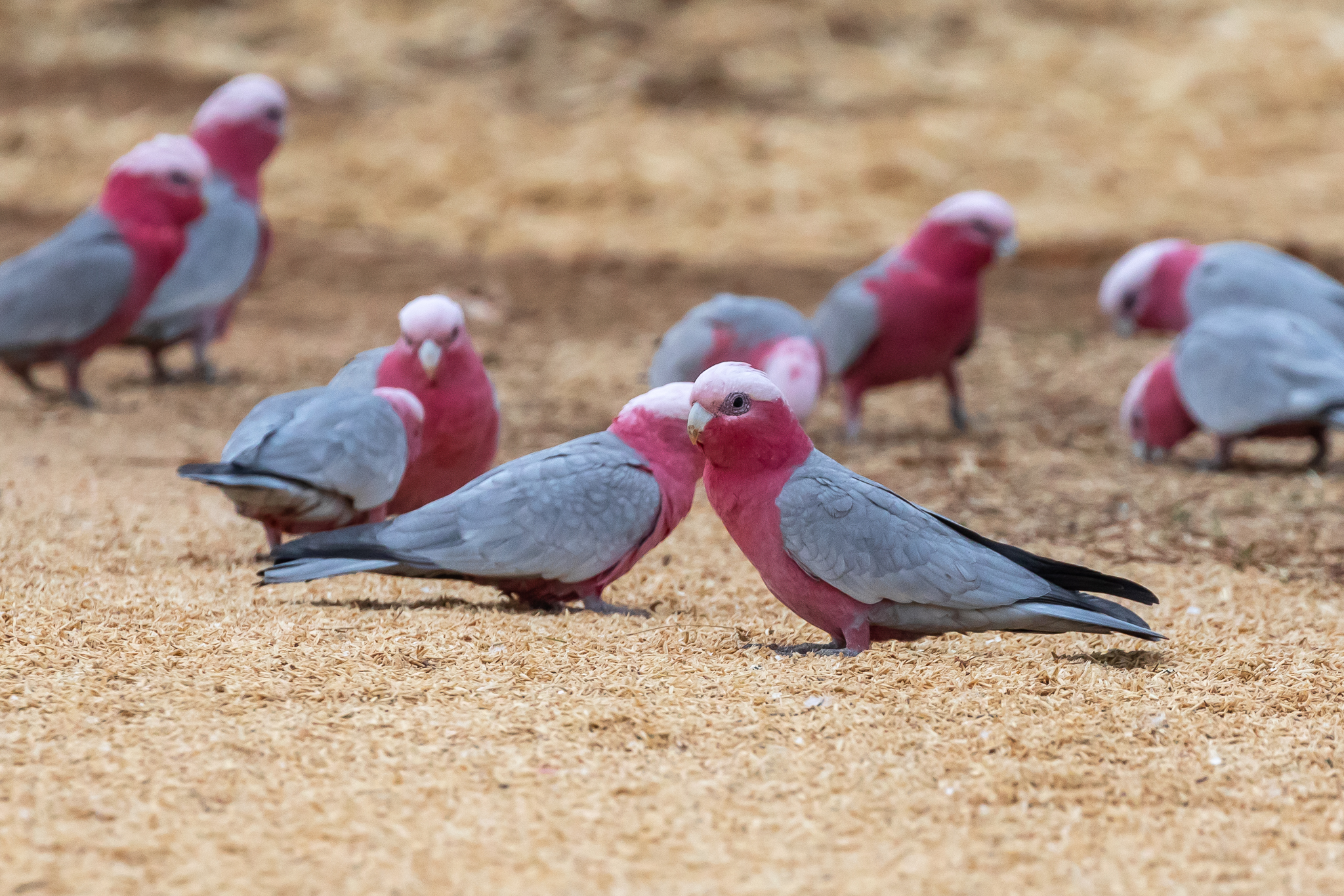 Galahs at a farm south of Cowra, feeding on seeds from the ground. Galahs are found across most of Australia. They have benefited from land clearing and have exploited the new food sources as grain crops expand across the Woodland areas.