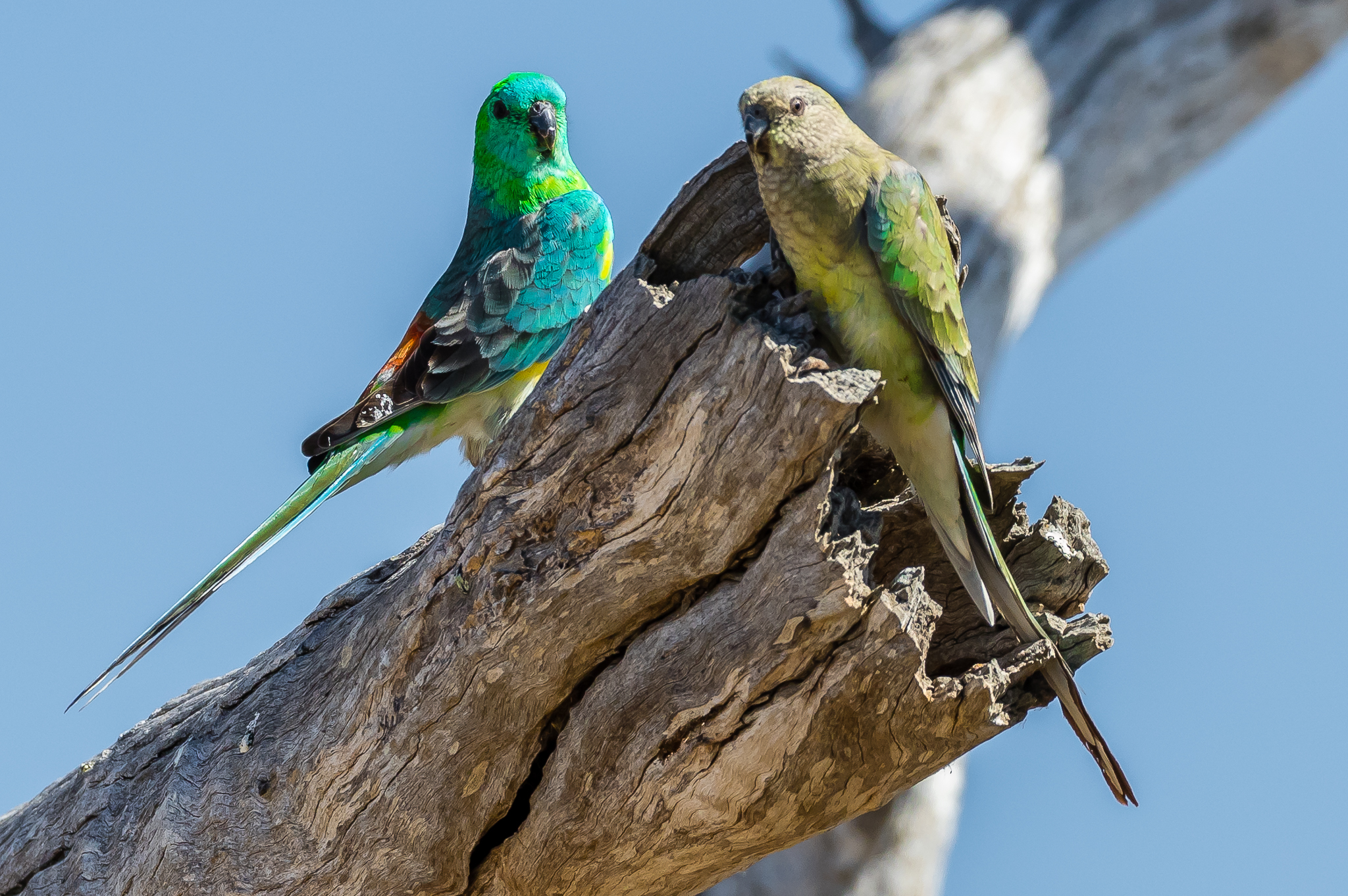 Red-rumped Parrots take possession of valuable real estate for nesting, a vacant hollow in a dead tree. As land was cleared dead trees provided homes for parrots, but these trees have not been replaced for future generations. Red-rumped Parrots feed on seeds from the ground as well as seeds, fruits and flowers of trees.