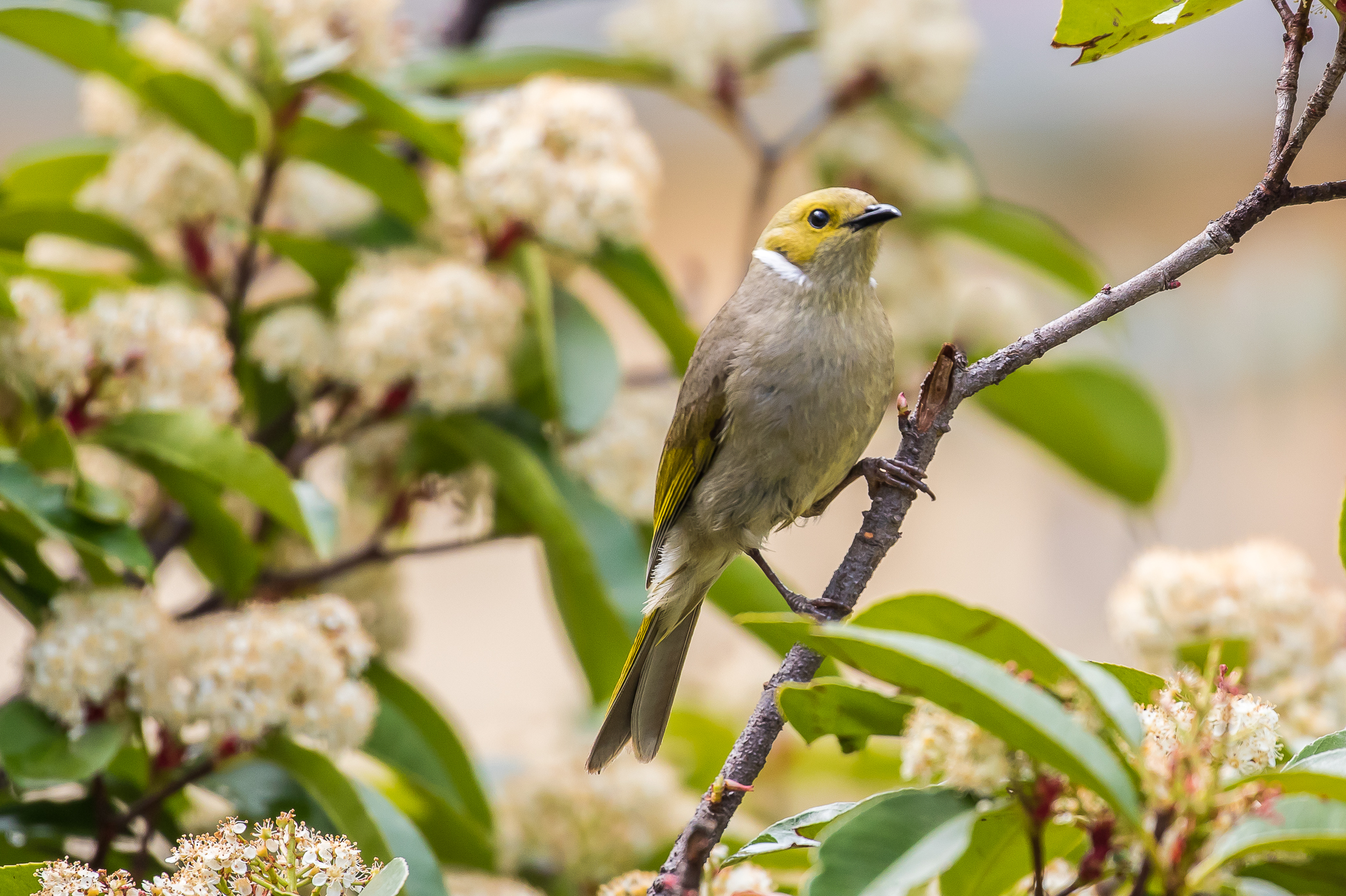 White-plumed Honeyeaters and other honeyeaters take advantage of nectar from garden plants as well as their main food source, the nectar, pollen and manna from flowering eucalyptus trees. The White-plumed Honeyeater can be seen in open bush and road-side trees.