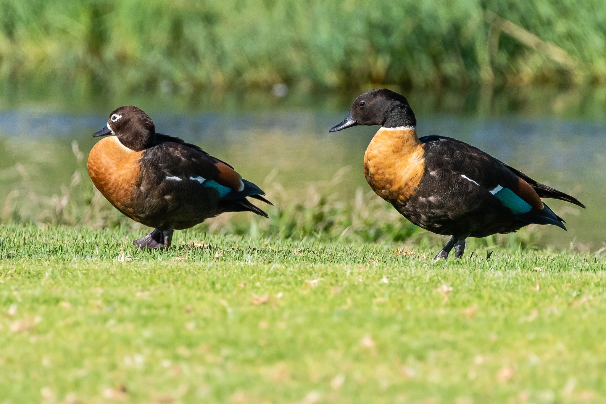 The Australian Shelduck (73 cm) feeds on pasture and wetlands across southern Australia. They eat grass and insects.