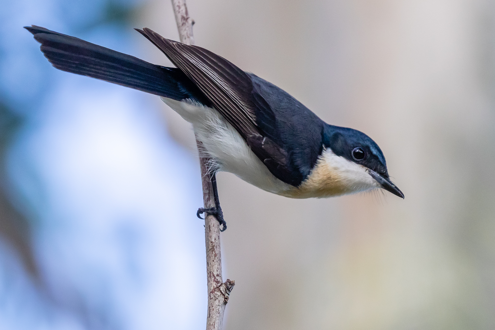 Restless Flycatcher at Randwick Environment Park