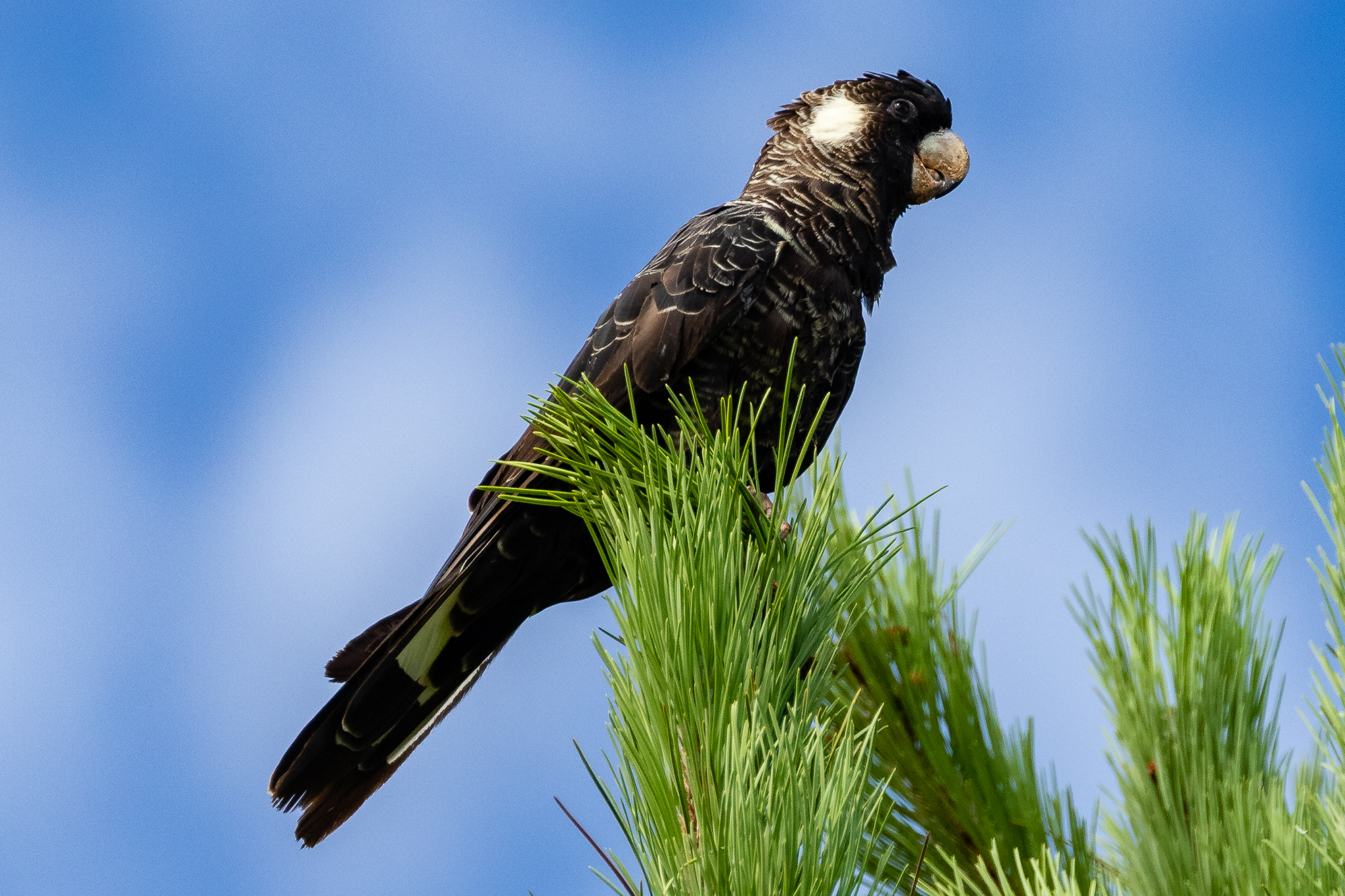 The endangered Carnaby's Black-Cockatoo (60 cm) is found in the woodlands of south-west Australia. It feeds on pine, grevillea and banksia seeds. These Black-Cockatoos can live to over 40 years in the wild.