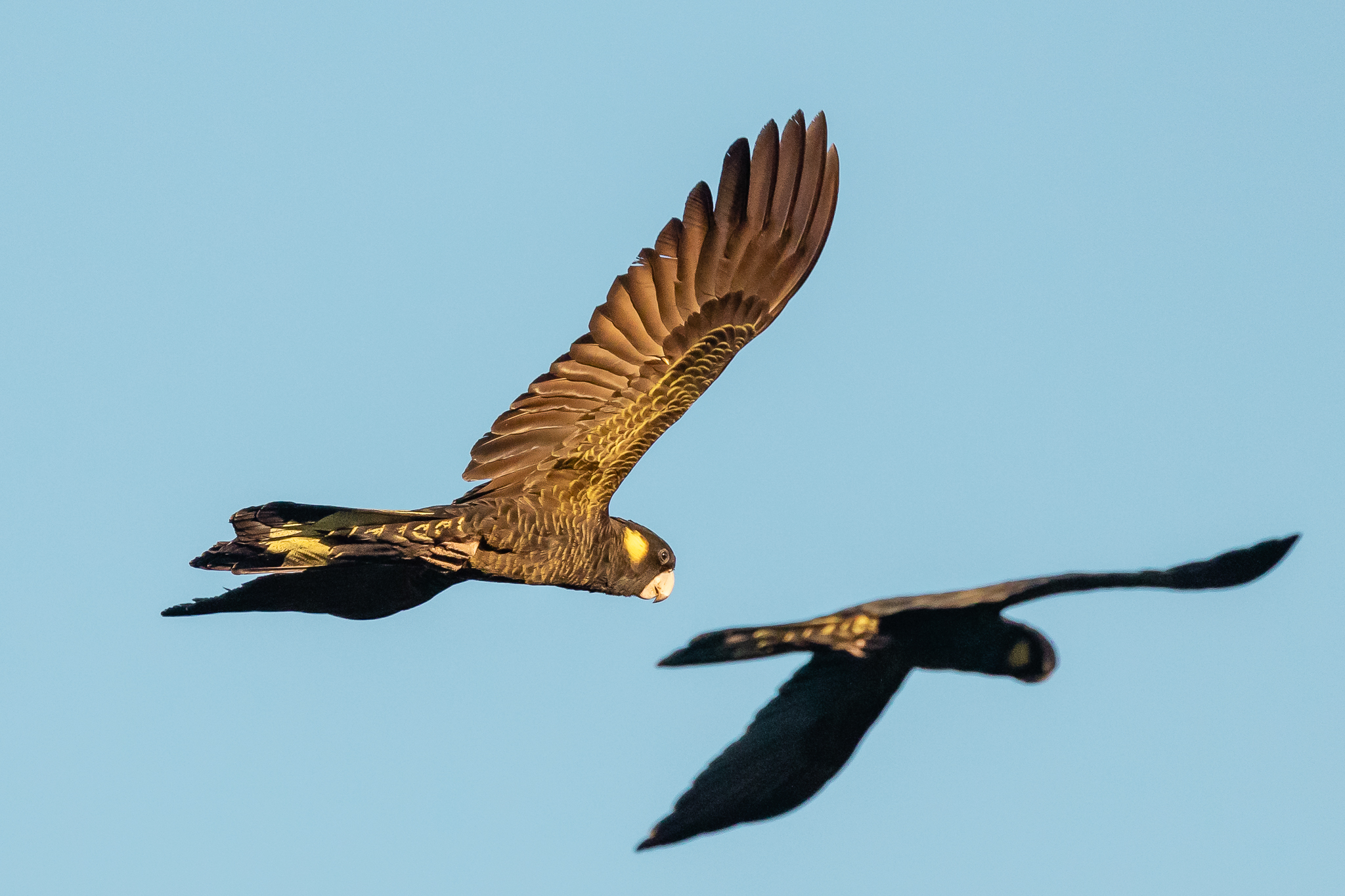 The languid flight and wailing call of the Yellow-tailed Black-Cockatoo (65 cm) make it a favourite for many. Found in southern Queensland, NSW , Vic. SA and Tasmania. Feed on seeds of trees and shrubs and sometimes insects.