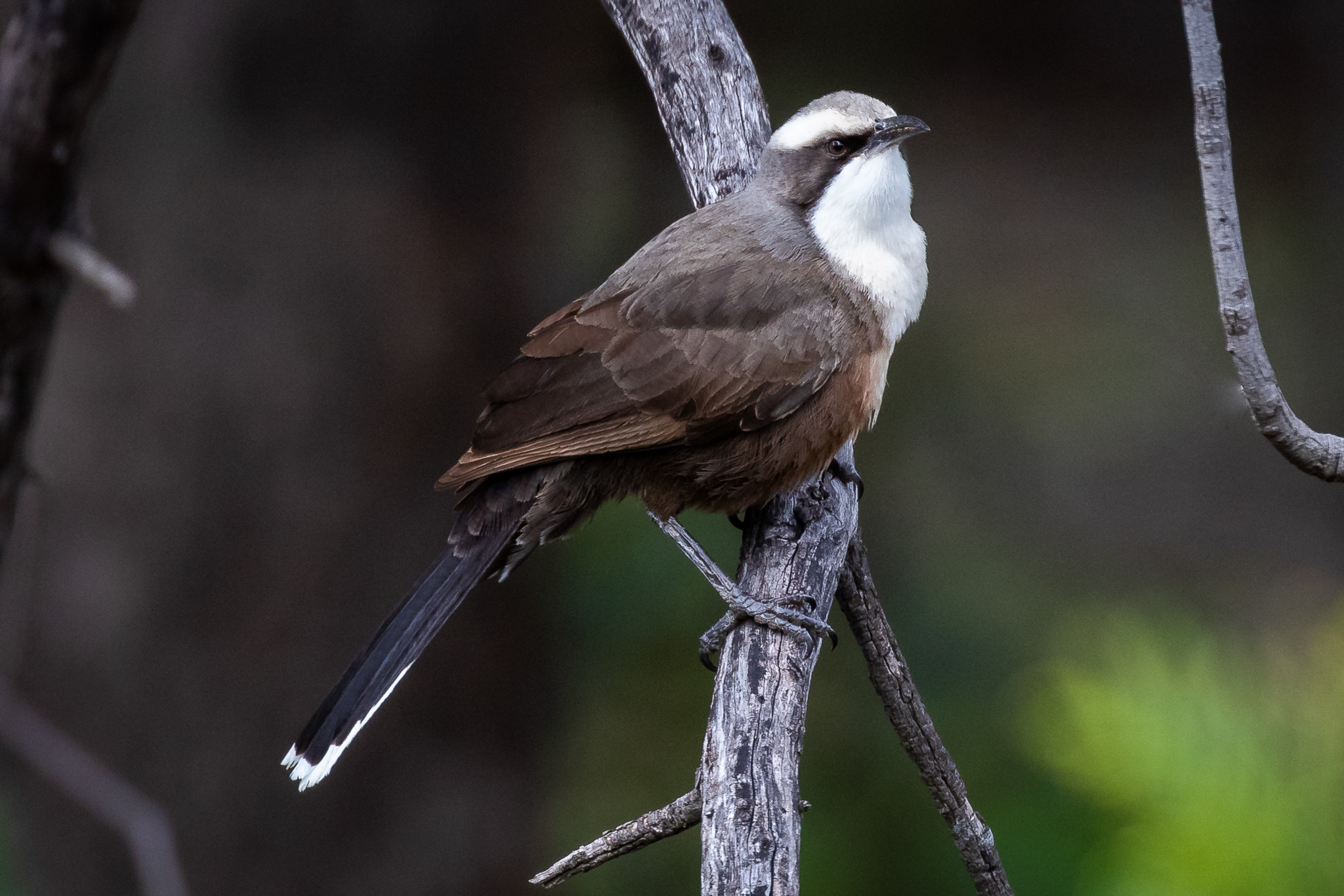 The charming Grey-crowned Babbler is usually seen in a noisy family group of up to ten or more birds, chatting away in a soft nasal twitter. They feed on insects and occasionally seeds. This bird was seen at Morongla Cemetery near Cowra.