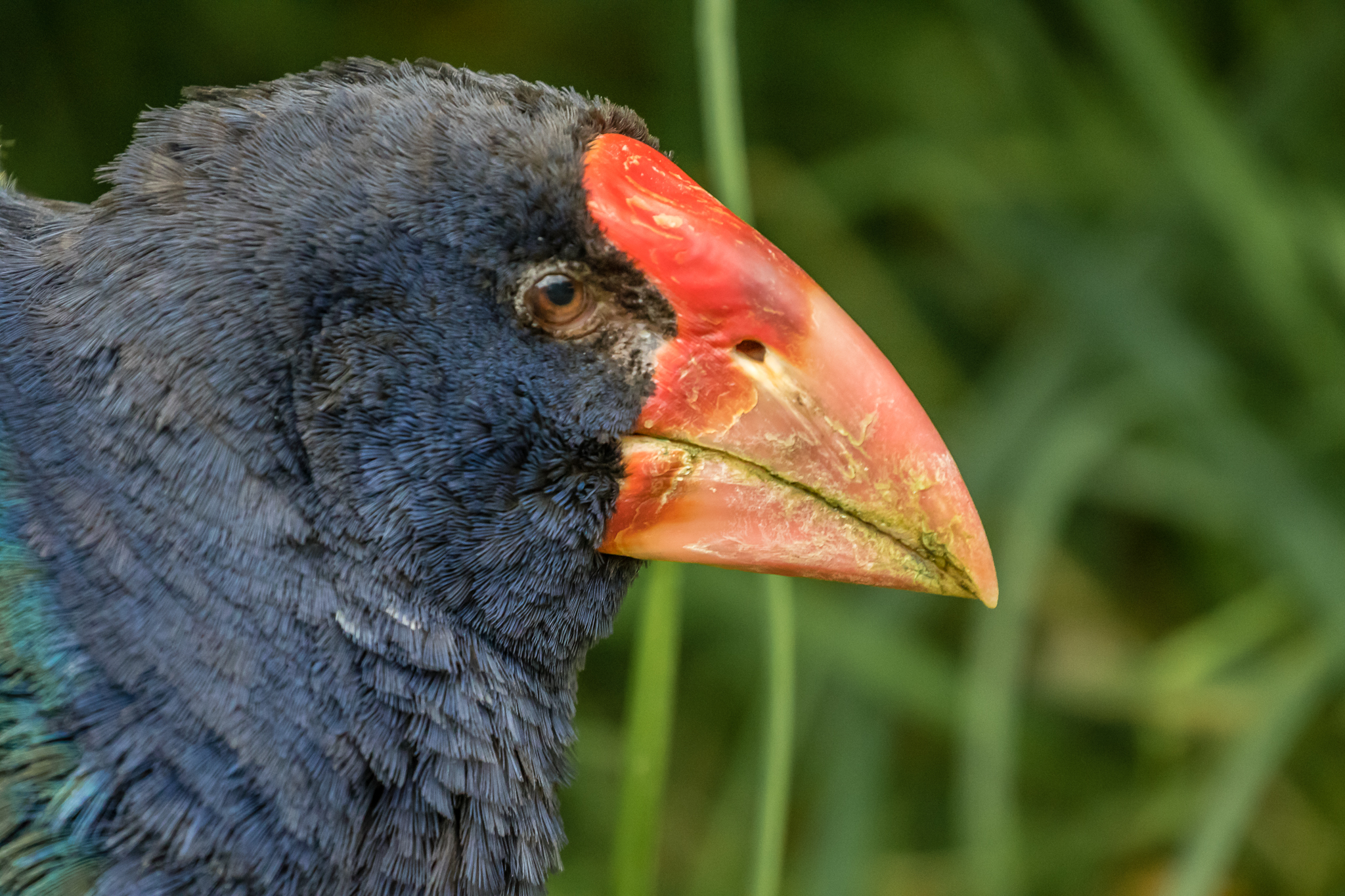 One of two Takahēs at the wonderful Zealandia Sanctuary in Wellington.